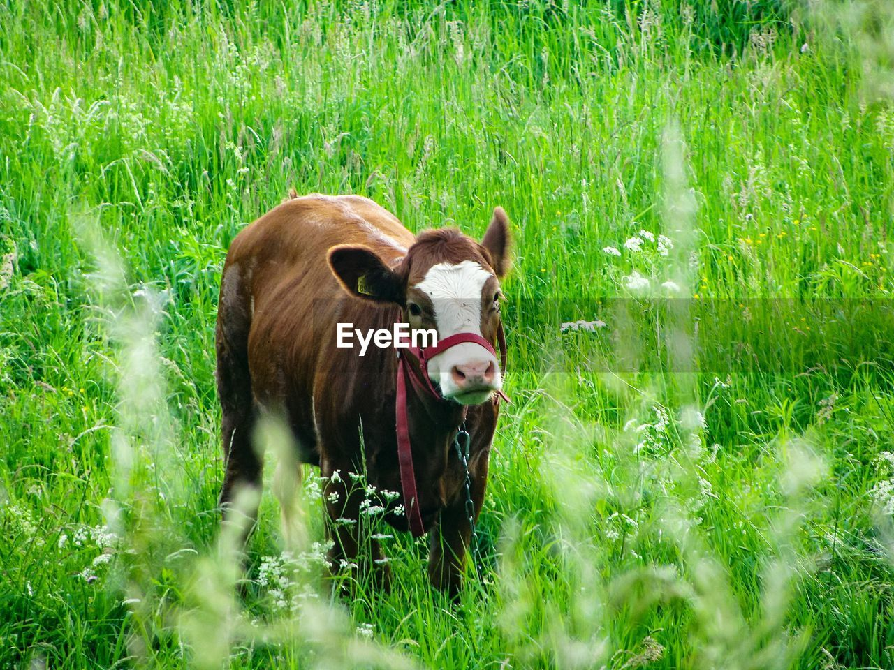 mammal, grass, domestic, plant, animal themes, animal, pets, domestic animals, livestock, land, field, vertebrate, green color, nature, one animal, no people, portrait, growth, cow, looking at camera, outdoors, herbivorous
