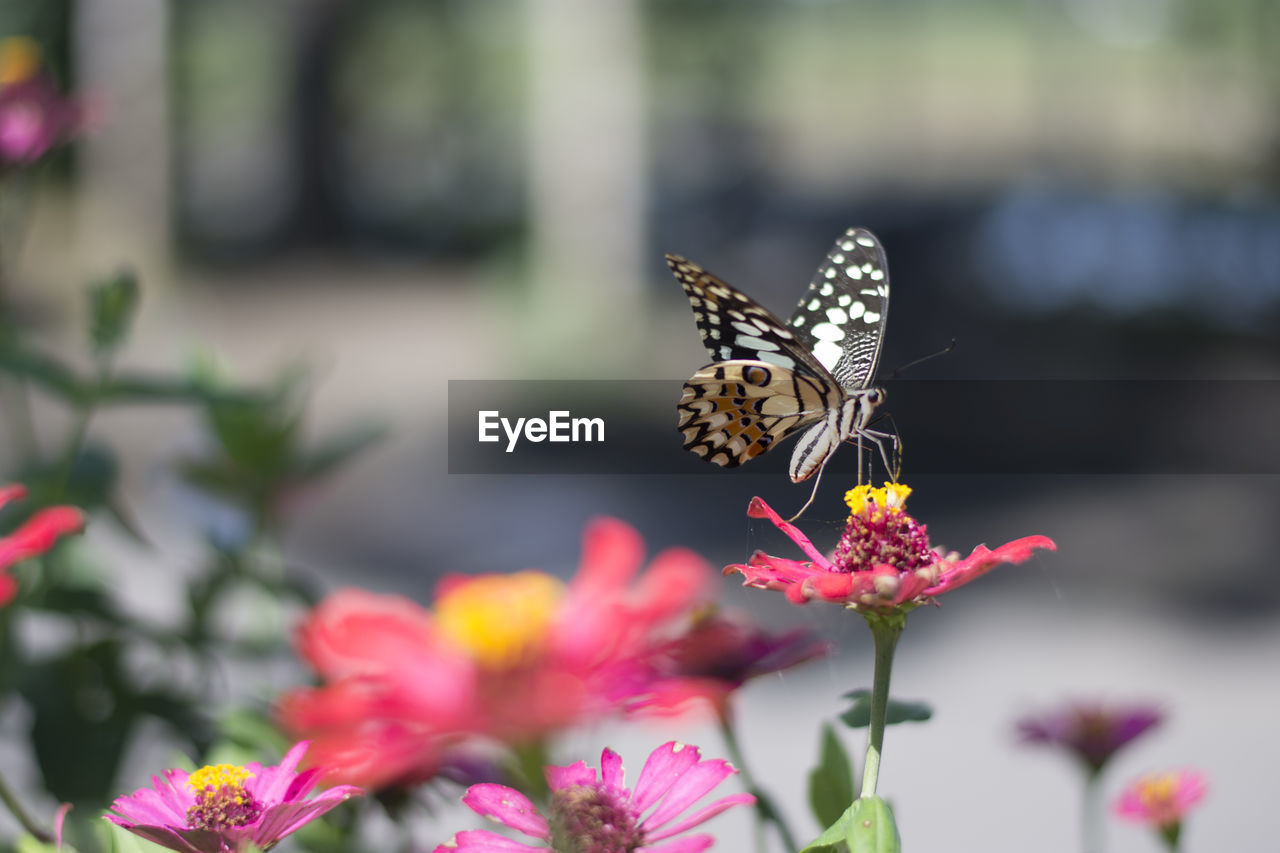 flowering plant, flower, insect, invertebrate, beauty in nature, animal themes, animals in the wild, animal wing, animal wildlife, animal, one animal, freshness, fragility, vulnerability, butterfly - insect, petal, plant, pollination, flower head, symbiotic relationship, no people, pink color, outdoors, butterfly