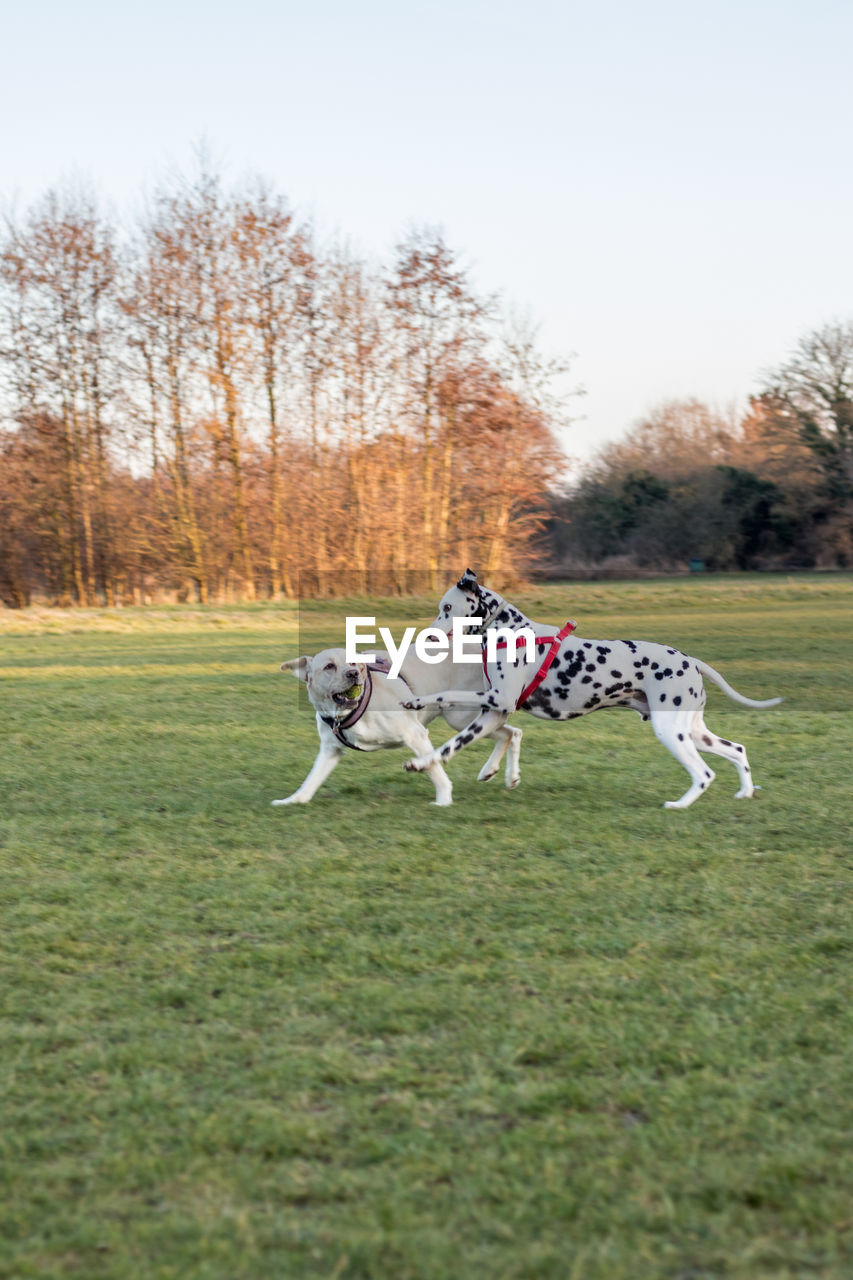 Dogs Playing On Grassy Field Against Sky