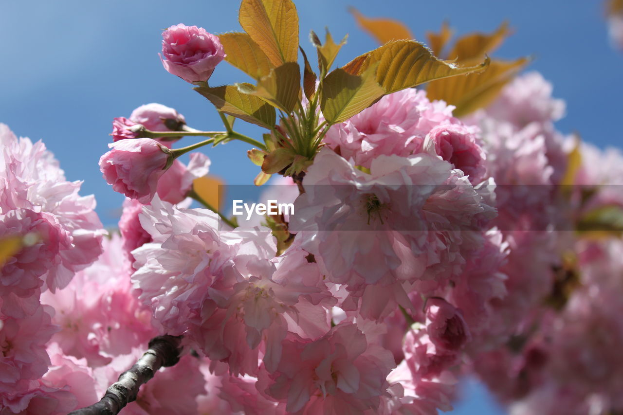 flower, fragility, beauty in nature, petal, pink color, growth, freshness, nature, blossom, flower head, springtime, no people, botany, stamen, day, outdoors, blooming, close-up, tree, low angle view, plant, plum blossom, branch, sky