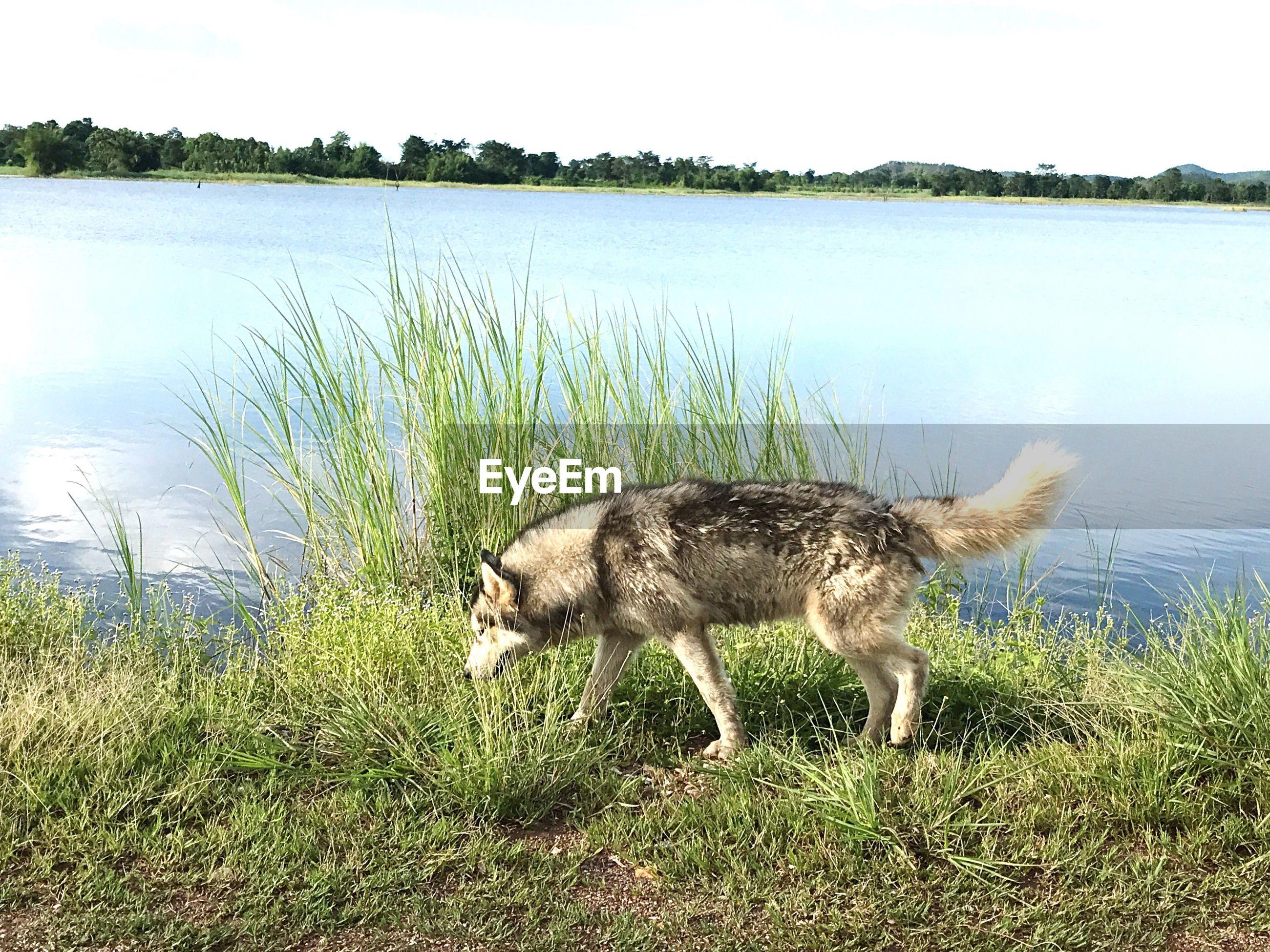 DOG IN LAKE