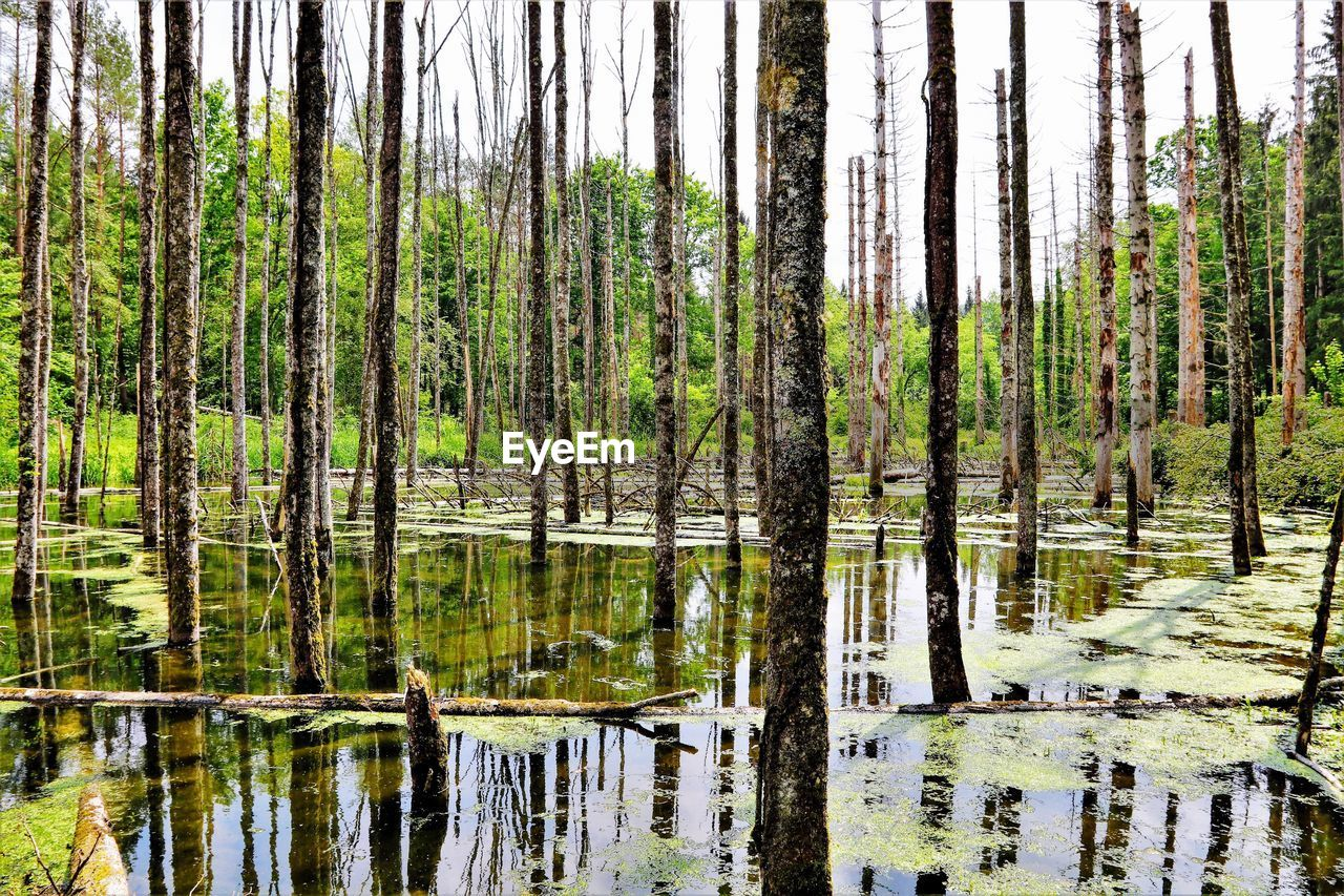 water, tree, plant, forest, reflection, land, no people, lake, nature, scenics - nature, woodland, tranquility, beauty in nature, trunk, tranquil scene, day, tree trunk, growth, green color, outdoors, pine tree, swamp, coniferous tree, pine woodland