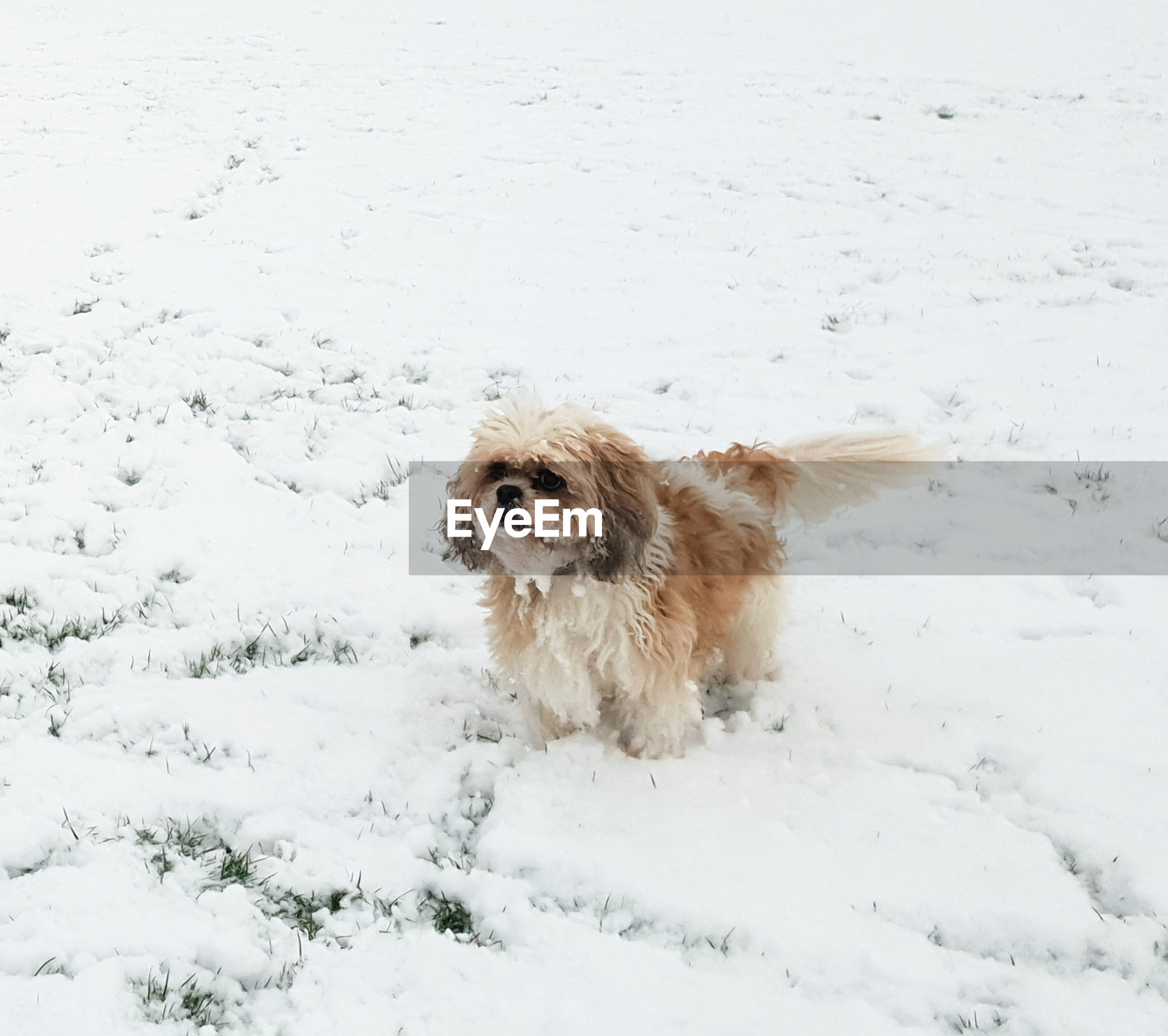canine, dog, one animal, snow, animal themes, cold temperature, mammal, animal, pets, winter, domestic, domestic animals, vertebrate, white color, field, covering, land, nature, no people, small, snowing