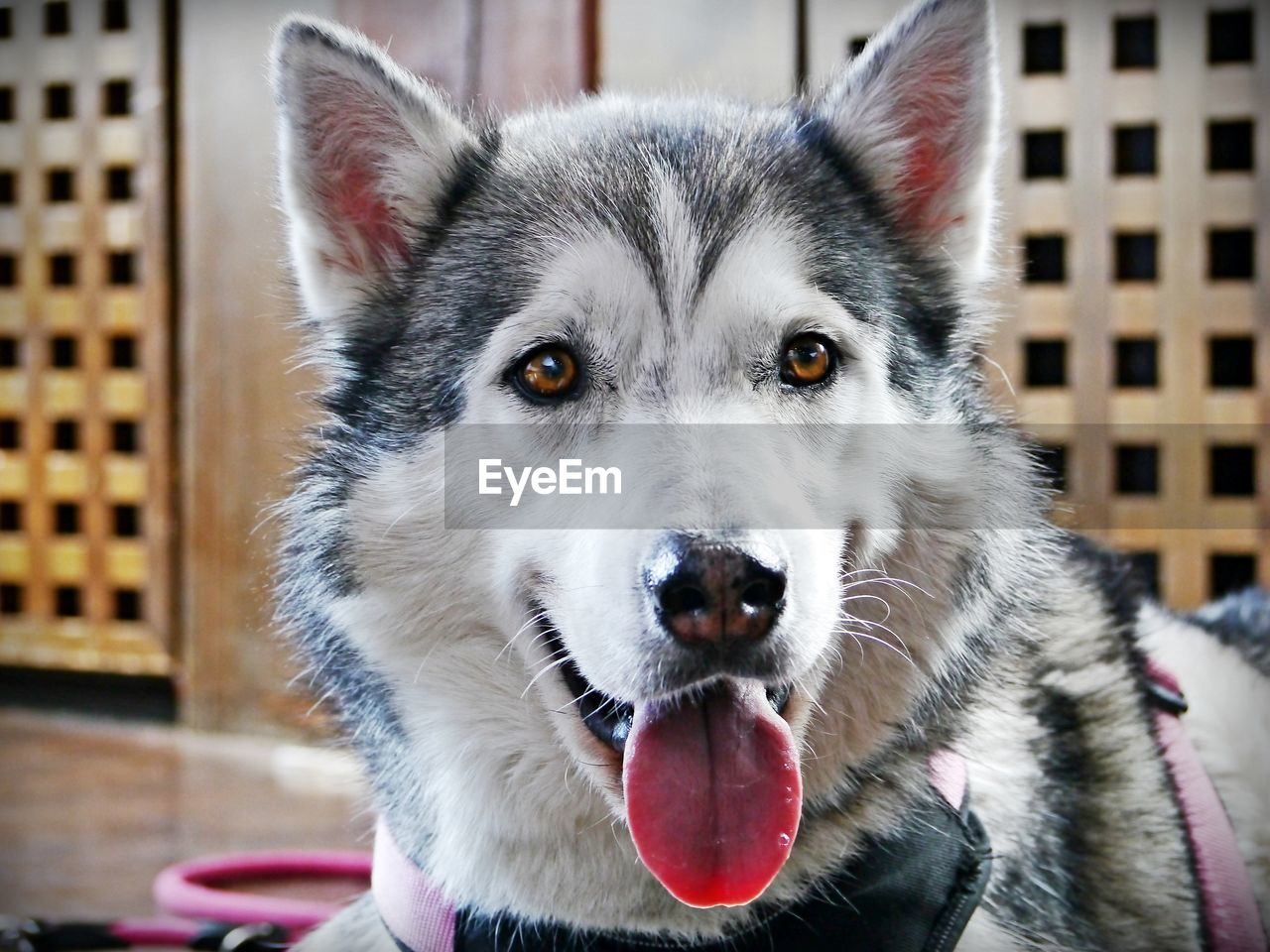 one animal, mammal, animal themes, animal, canine, dog, domestic, pets, domestic animals, vertebrate, focus on foreground, looking at camera, close-up, portrait, animal body part, no people, sled dog, siberian husky, mouth open, animal head, animal tongue, whisker, animal mouth, animal nose