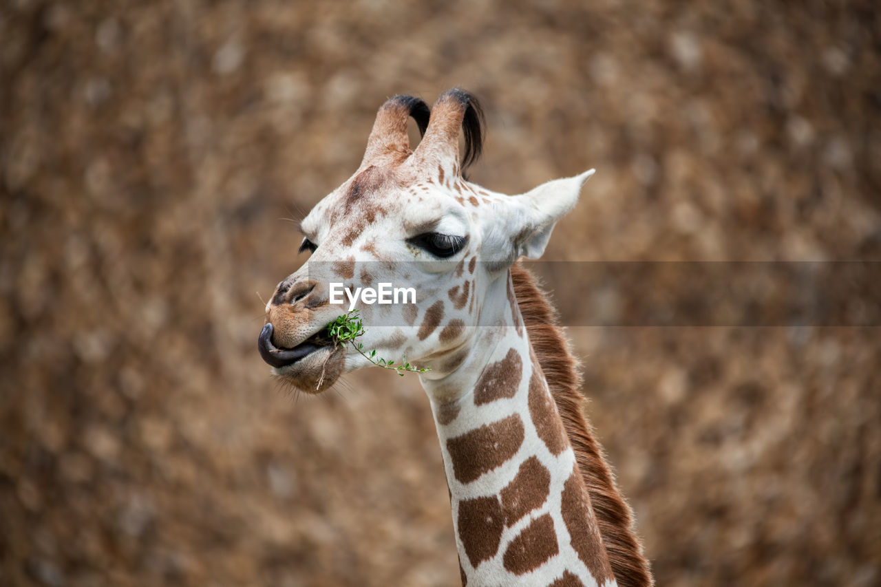 Close-Up Of Giraffe Feeding On Leaves