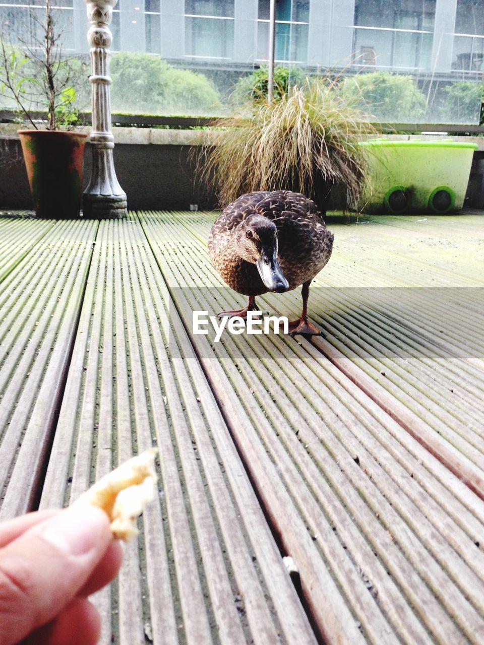 Cropped hand feeding duck