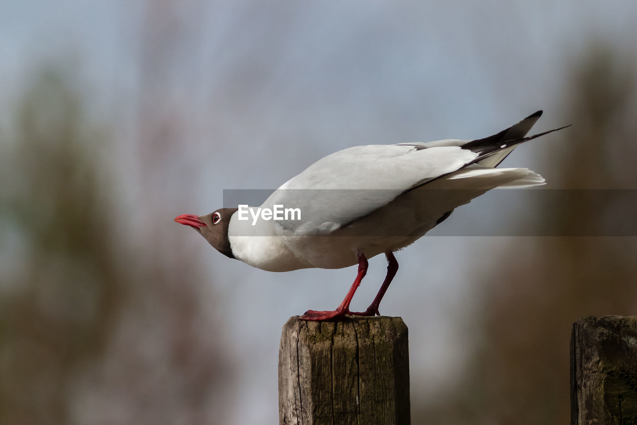 animal, animal themes, bird, animal wildlife, vertebrate, animals in the wild, one animal, focus on foreground, wood - material, perching, post, wooden post, no people, day, close-up, nature, side view, outdoors, full length, seagull