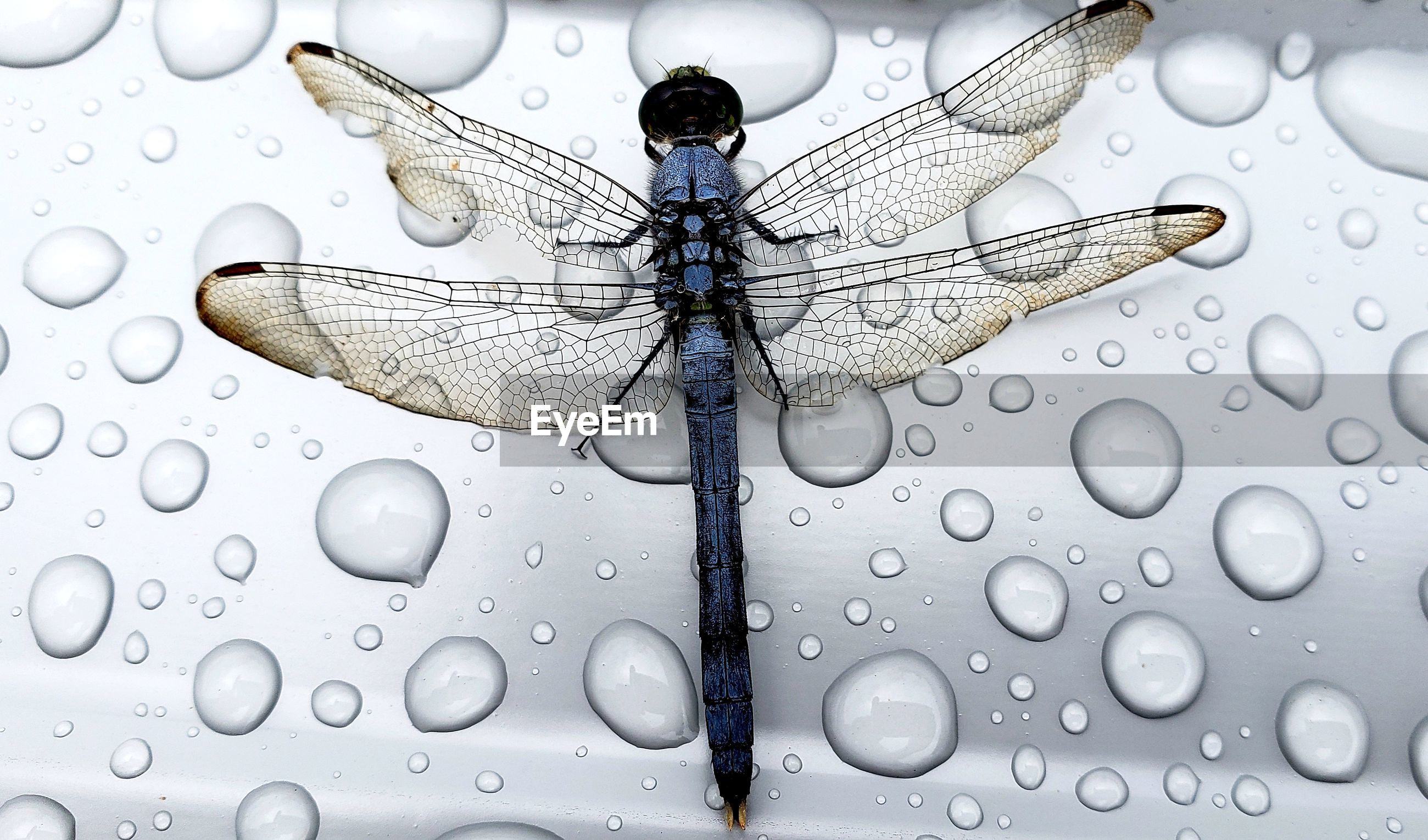 CLOSE UP OF DRAGONFLY ON WATER