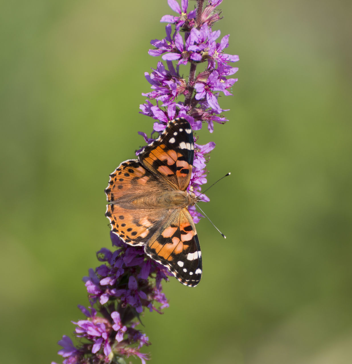 flower, animal themes, animal wildlife, one animal, flowering plant, animal, animals in the wild, invertebrate, insect, fragility, vulnerability, beauty in nature, butterfly - insect, plant, animal wing, close-up, flower head, petal, freshness, pollination, no people, purple, outdoors, butterfly