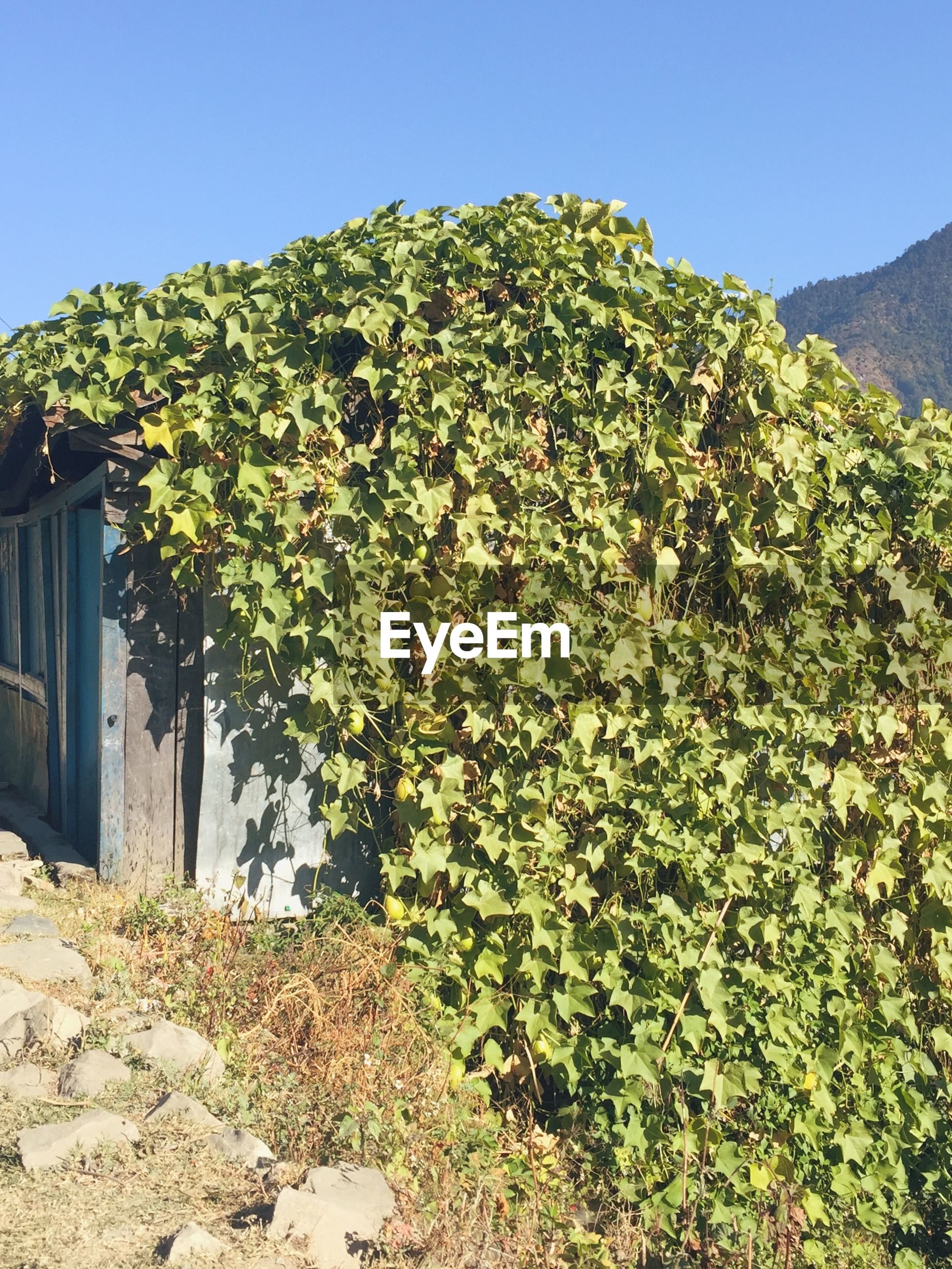 Ivy covering built structure