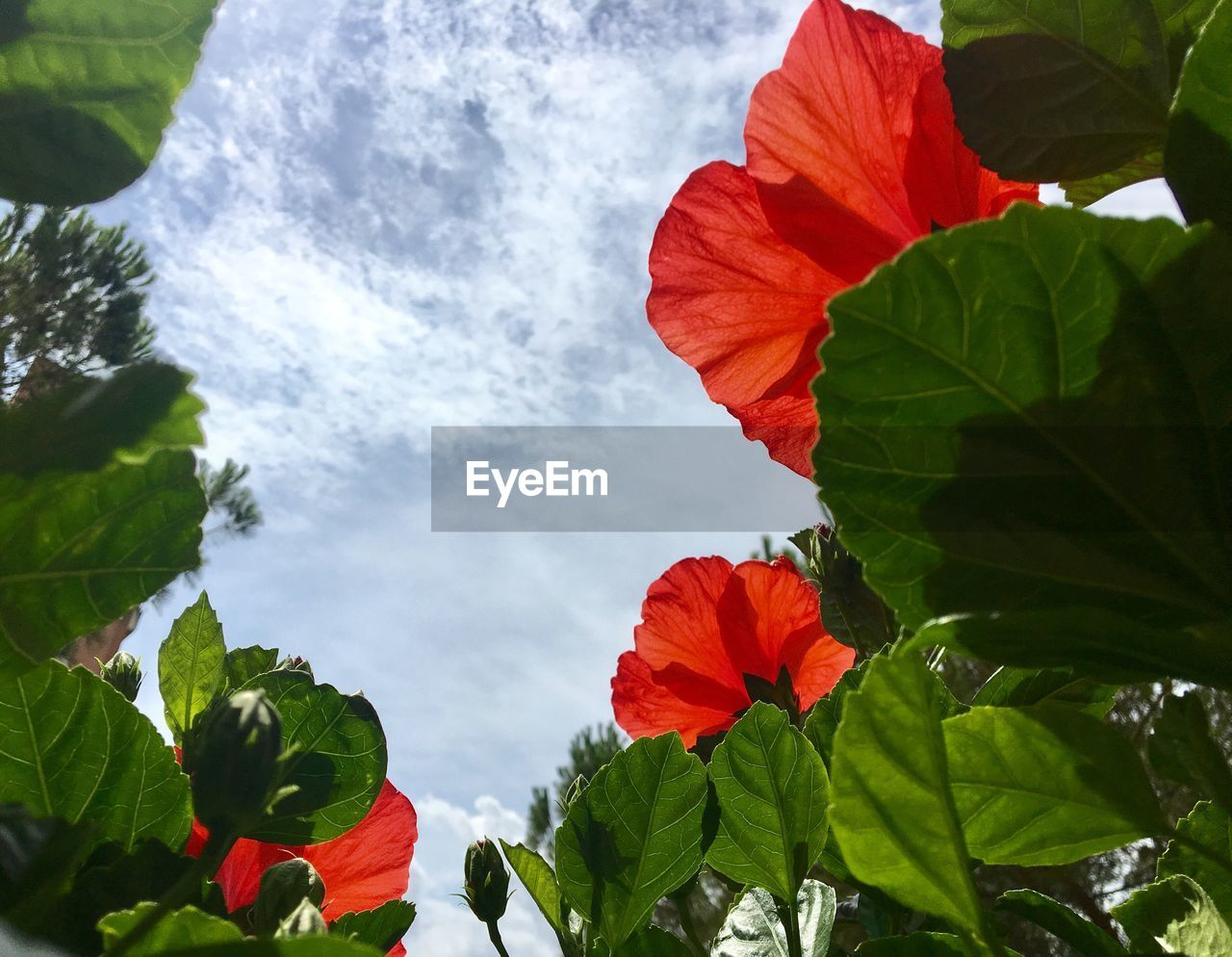 leaf, growth, plant, green color, nature, beauty in nature, freshness, fragility, flower, day, low angle view, petal, outdoors, no people, cloud - sky, flower head, red, hibiscus, blooming, close-up, petunia, sky