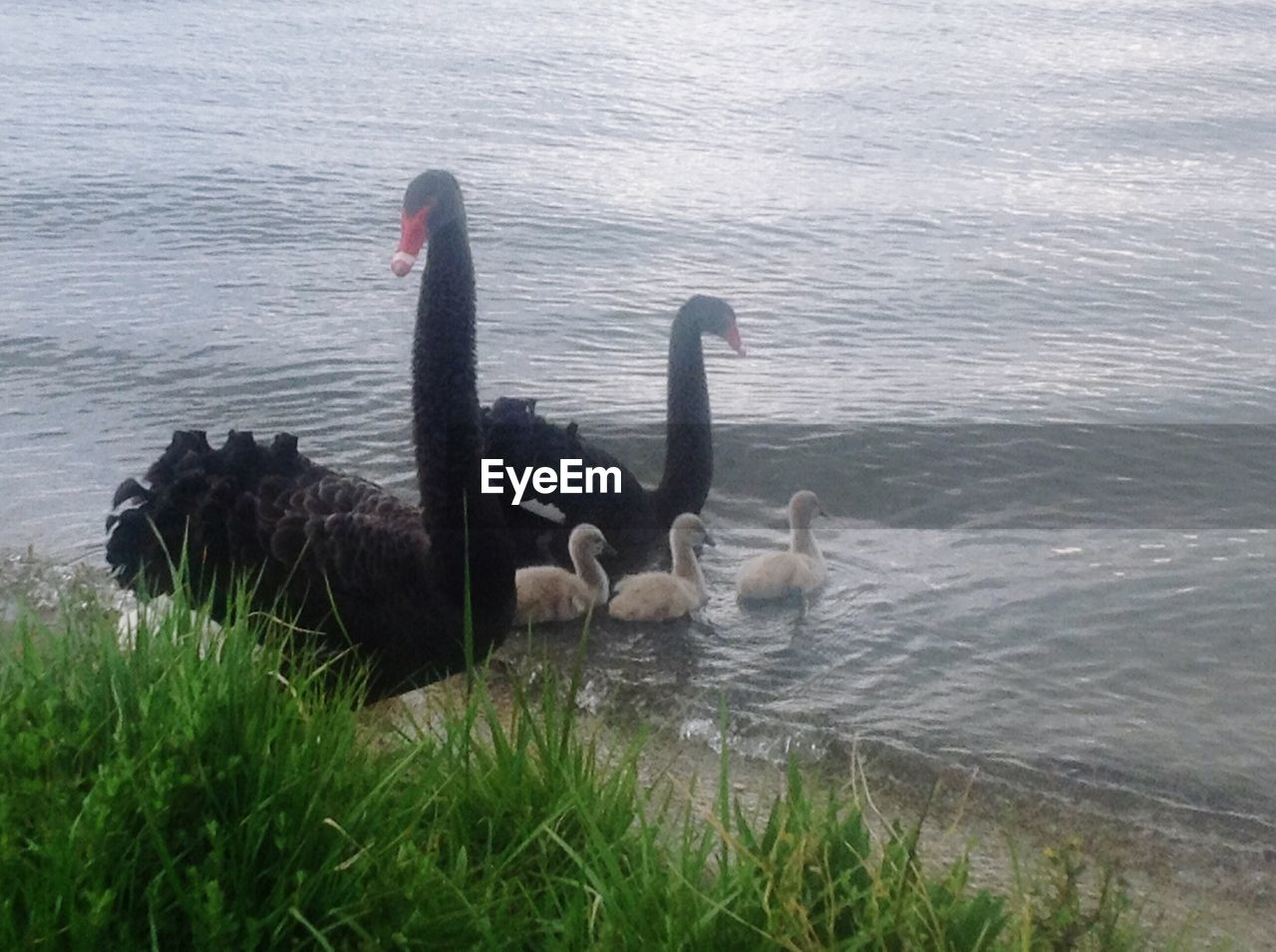 animals in the wild, swan, animal themes, water, lake, bird, swimming, nature, young animal, young bird, black swan, no people, animal wildlife, cygnet, animal family, outdoors, day, water bird, togetherness, grass