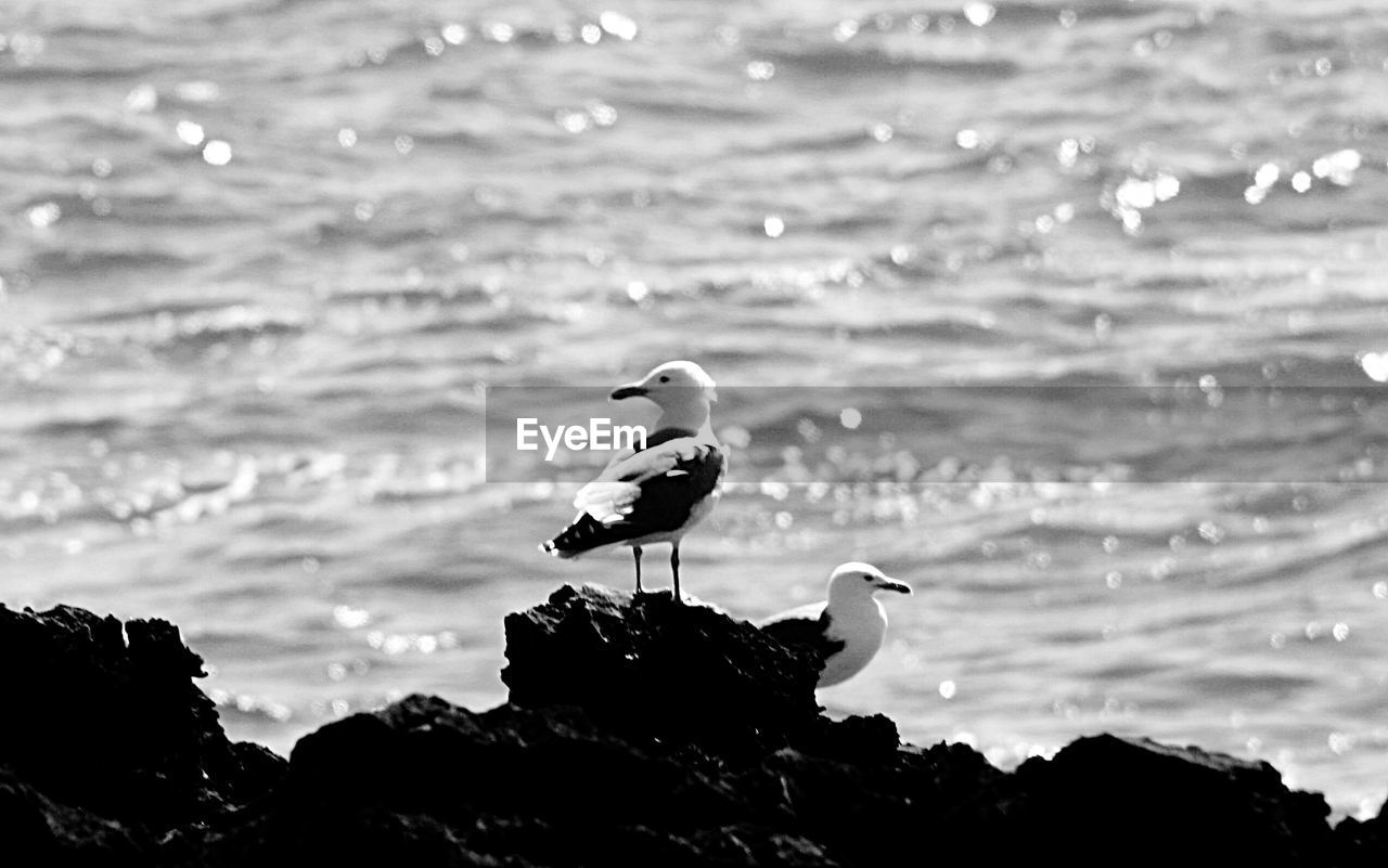 bird, animal themes, animal, vertebrate, animal wildlife, animals in the wild, water, one animal, perching, no people, rock, nature, beauty in nature, rock - object, solid, focus on foreground, sea, day, beach, seagull