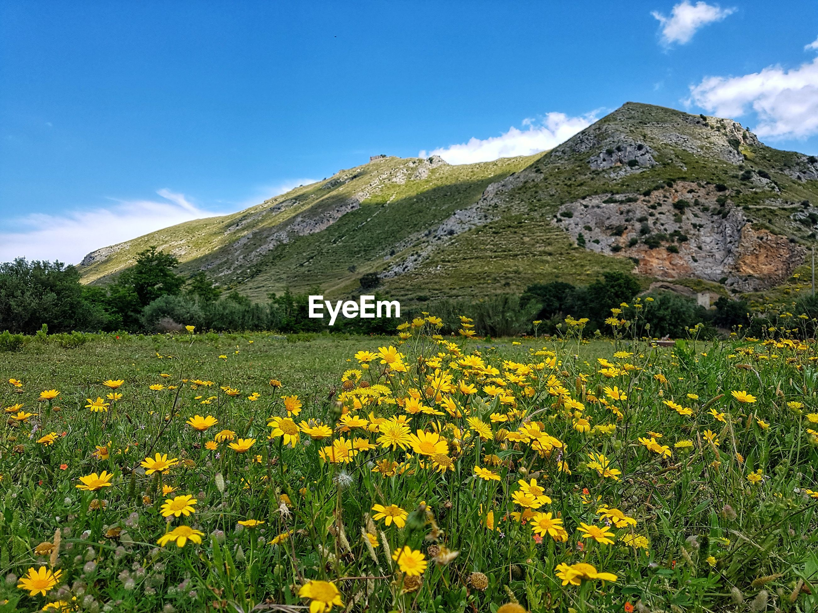 YELLOW FLOWERING PLANTS ON FIELD AGAINST MOUNTAIN