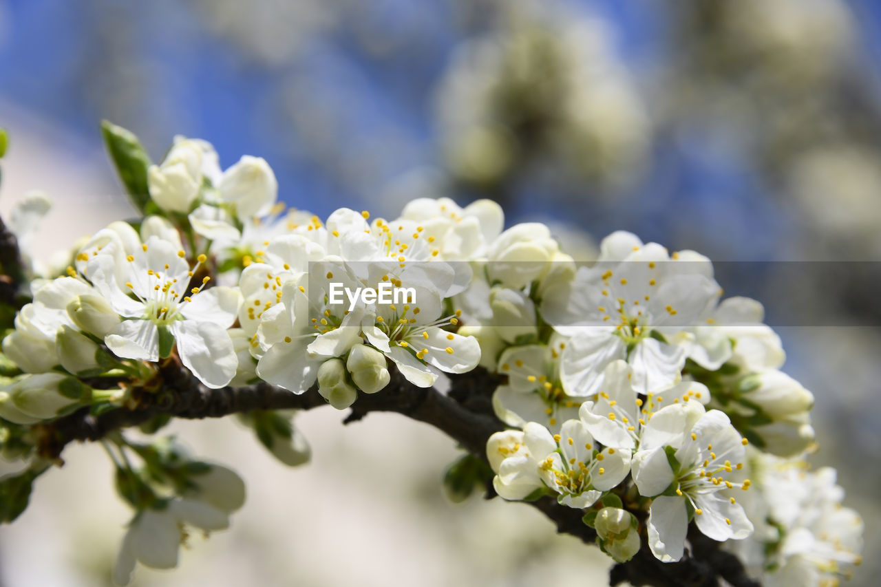 flower, flowering plant, vulnerability, plant, fragility, beauty in nature, growth, freshness, close-up, selective focus, nature, day, petal, white color, no people, flower head, inflorescence, focus on foreground, outdoors, tree, springtime, pollen