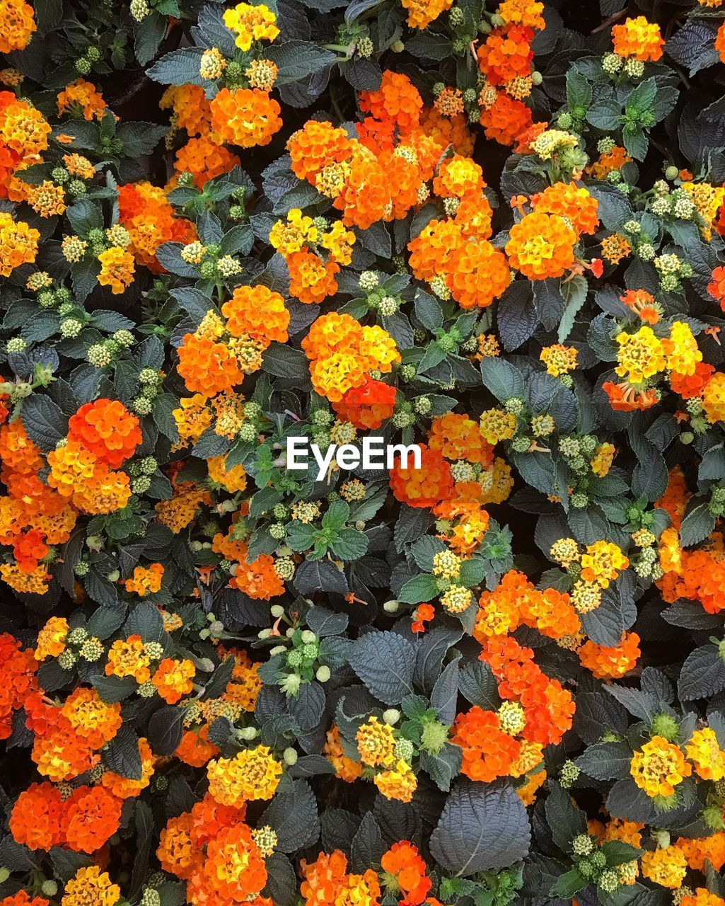 flowering plant, flower, fragility, beauty in nature, vulnerability, freshness, growth, plant, orange color, inflorescence, flower head, day, nature, close-up, high angle view, petal, no people, marigold, full frame, outdoors