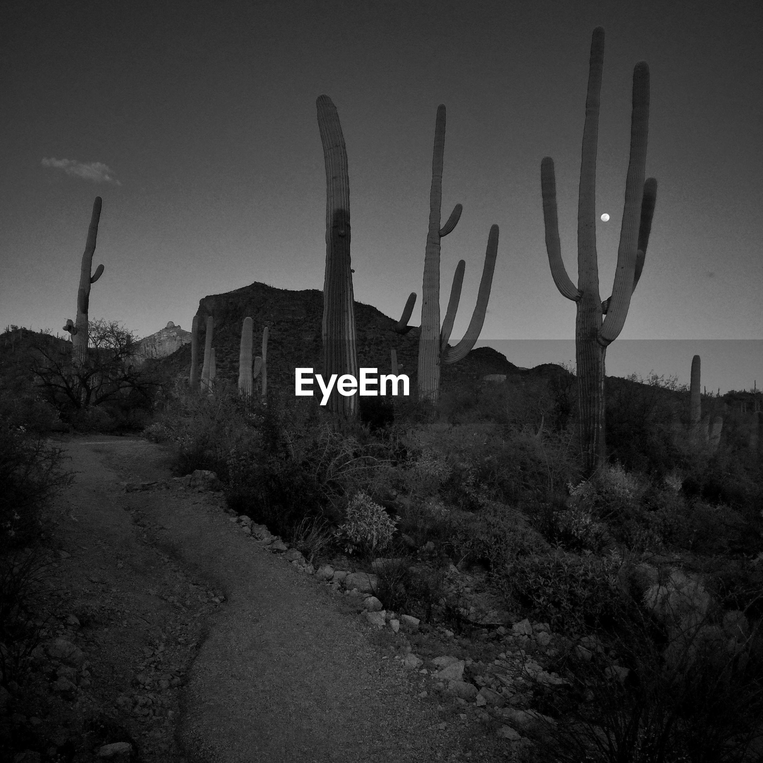 Saguaro cacti at dusk