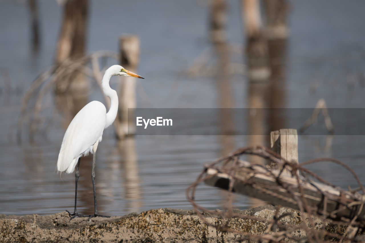 Great Egret Perching On Riverbank