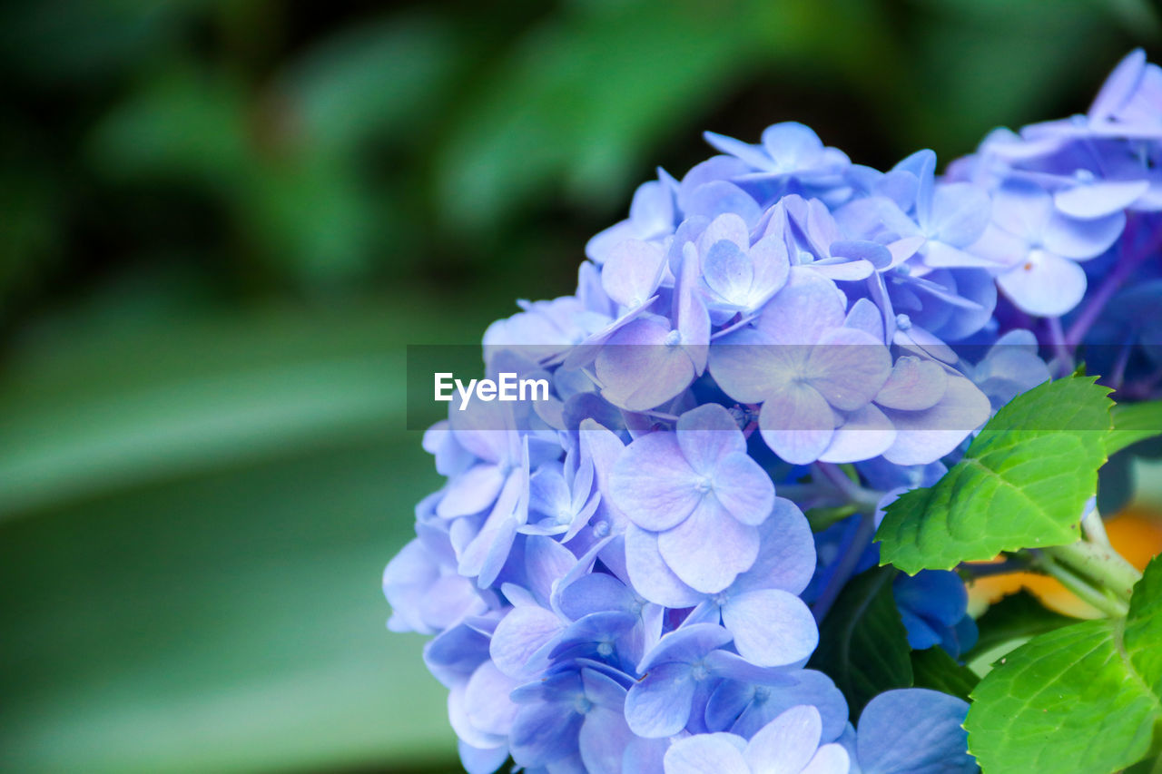 flowering plant, flower, beauty in nature, vulnerability, fragility, plant, freshness, petal, growth, flower head, close-up, inflorescence, nature, purple, day, plant part, hydrangea, leaf, no people, focus on foreground, lilac, bunch of flowers