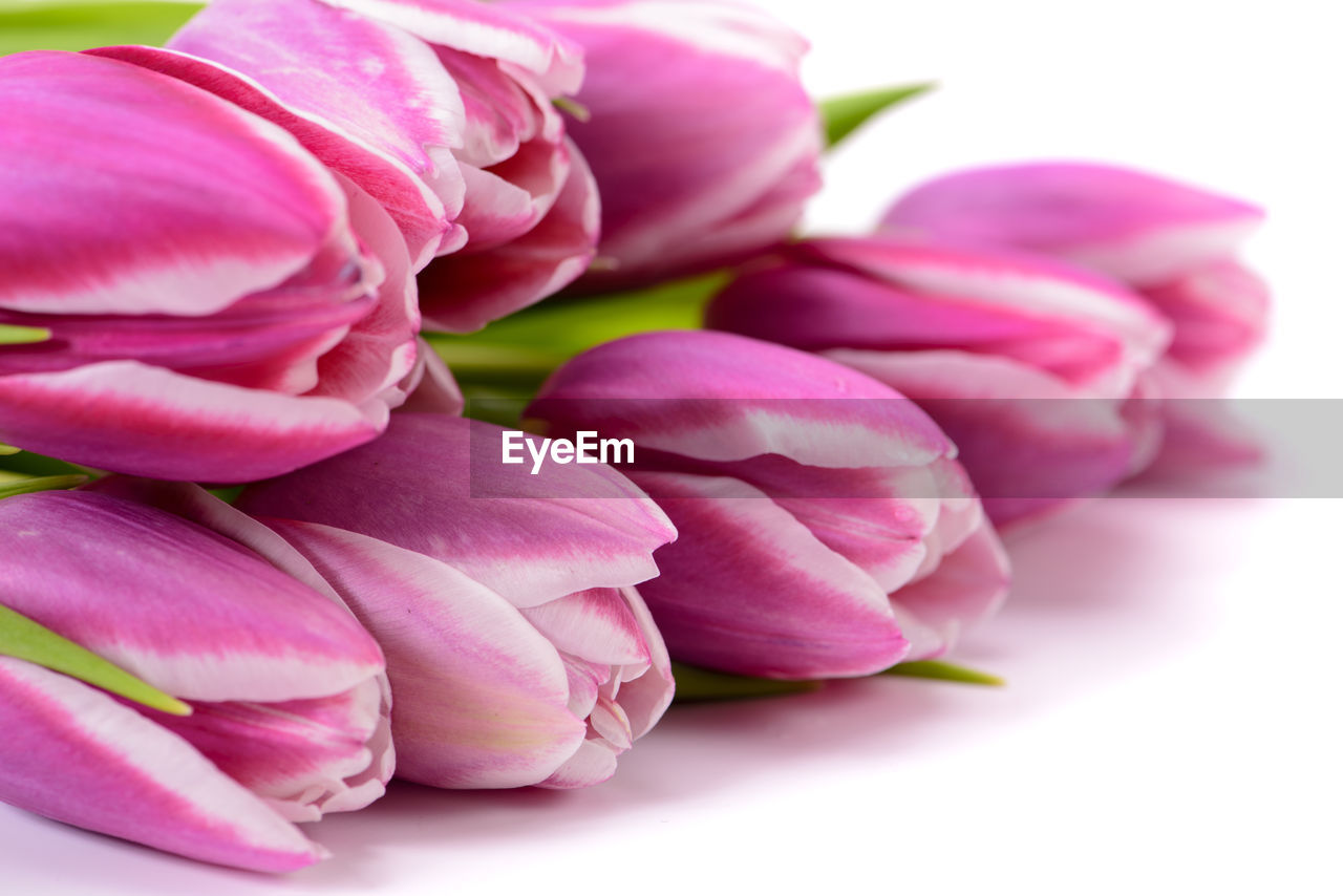 pink color, freshness, close-up, beauty in nature, plant, petal, flowering plant, flower, vulnerability, fragility, indoors, nature, no people, inflorescence, studio shot, flower head, rose, still life, tulip, rose - flower, softness