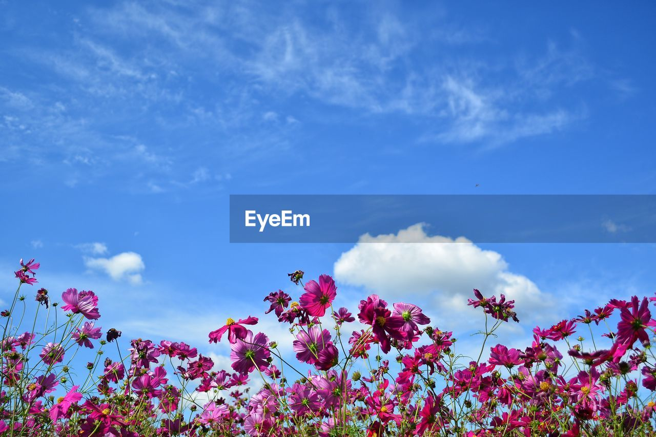 flower, flowering plant, beauty in nature, sky, freshness, cloud - sky, plant, growth, fragility, blue, vulnerability, nature, pink color, low angle view, no people, day, outdoors, petal, scenics - nature, tranquility