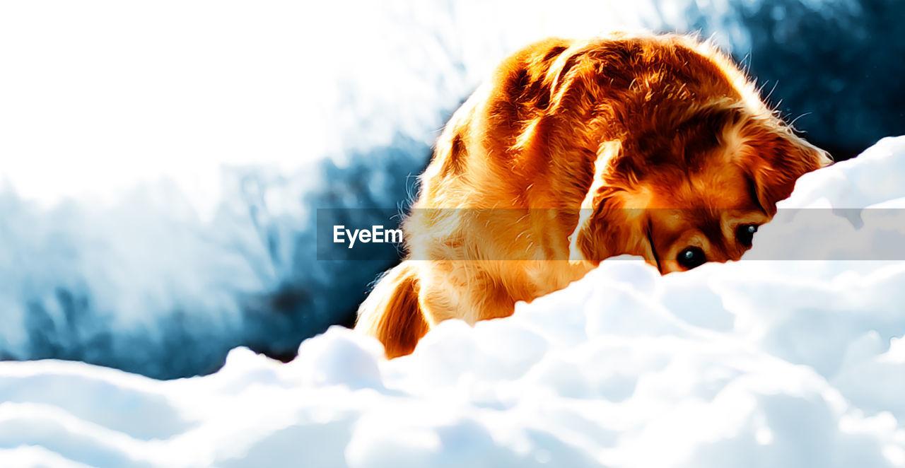 Golden Retriever Hiding In Snow Against Sky
