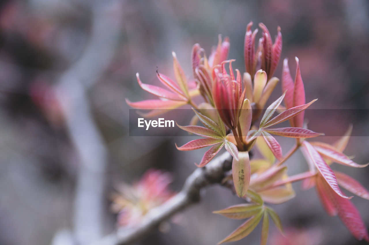 flowering plant, flower, fragility, plant, beauty in nature, growth, vulnerability, close-up, freshness, petal, pink color, flower head, focus on foreground, selective focus, inflorescence, day, nature, no people, outdoors, botany, springtime, sepal