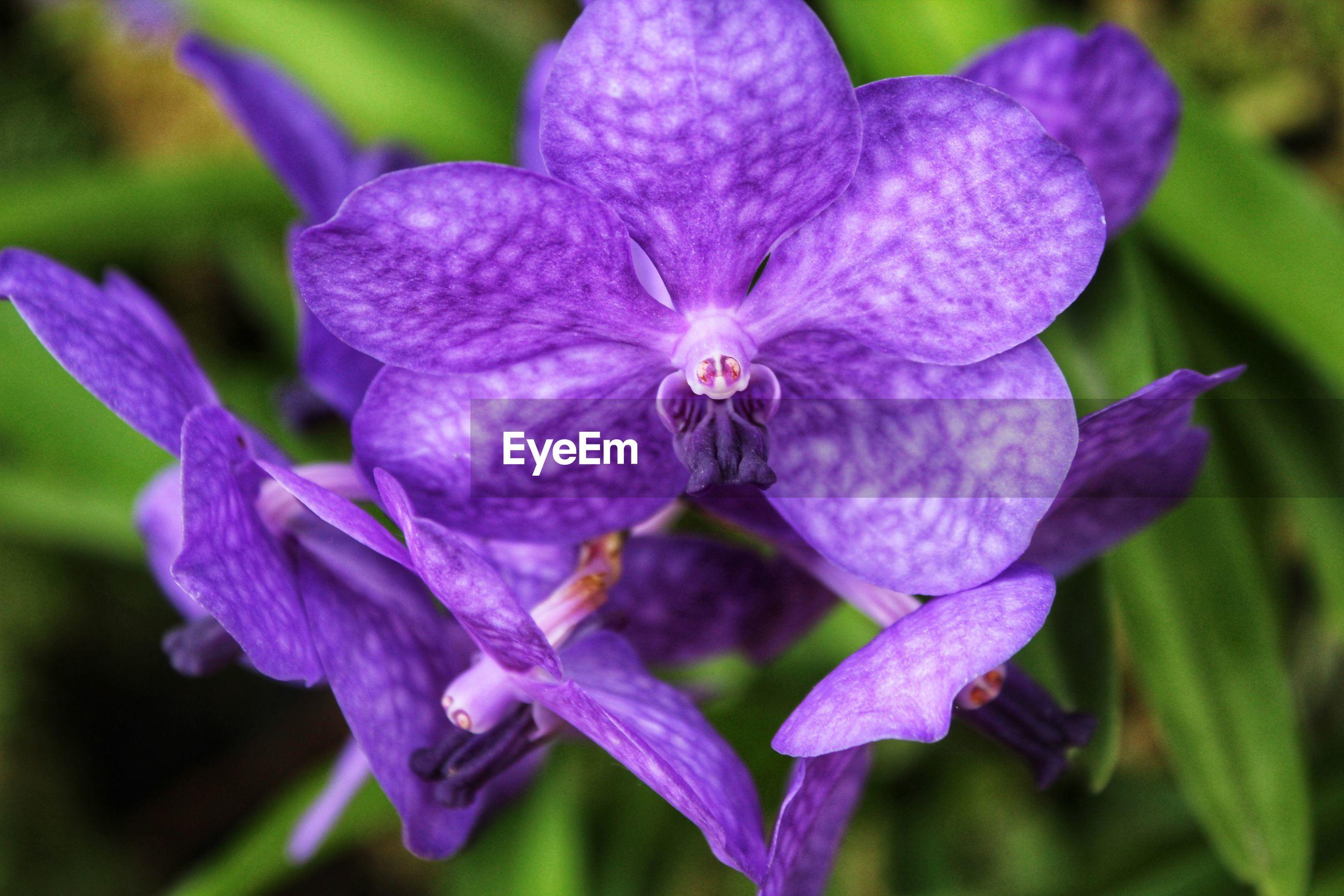 Close-up of purple iris flowers