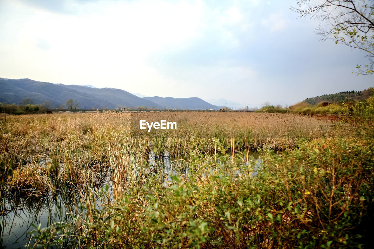 View Of Reed Grass Growing In Swamp