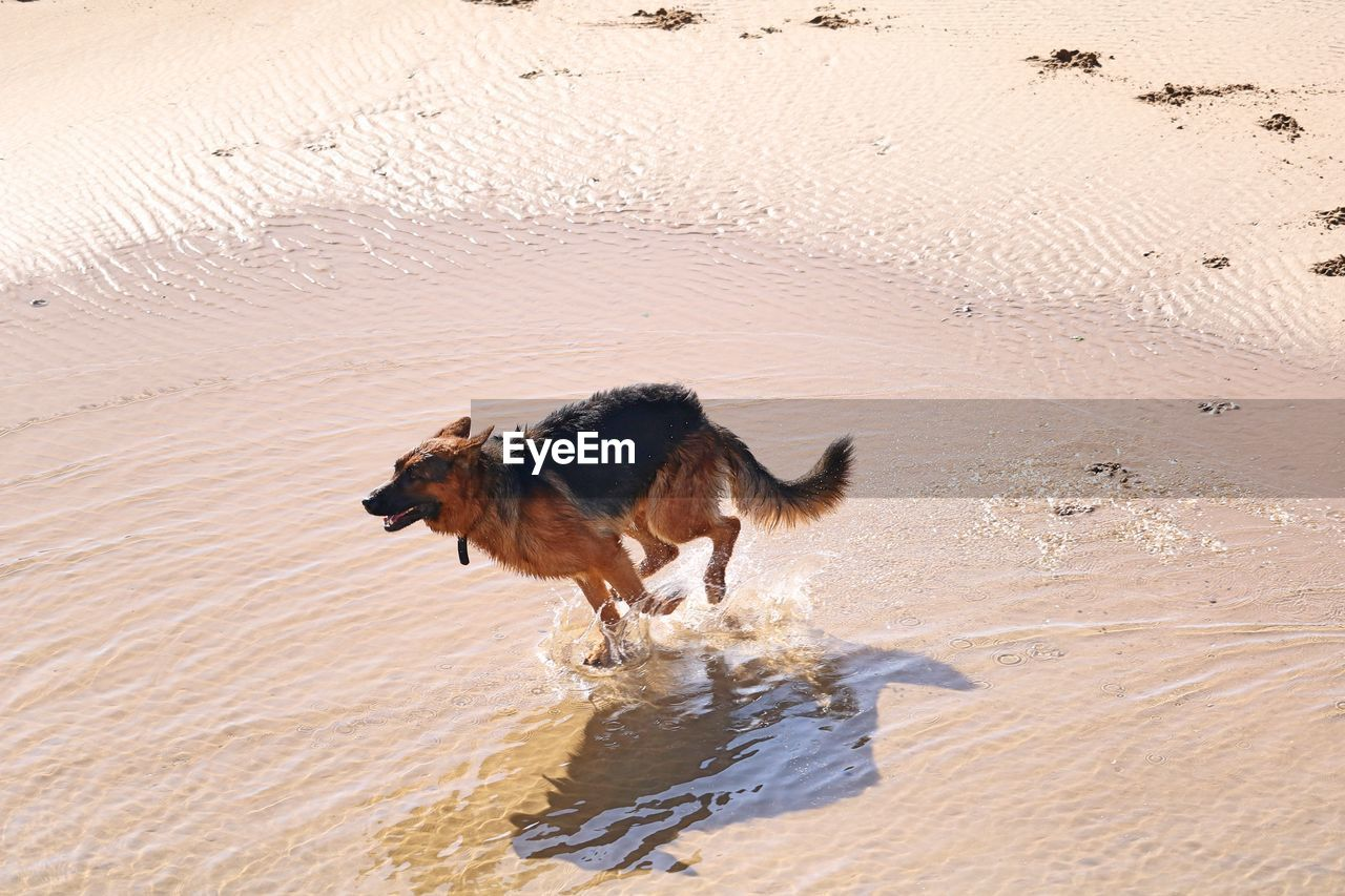animal, mammal, animal themes, pets, domestic, one animal, domestic animals, running, canine, water, dog, vertebrate, sand, motion, land, nature, beach, wet, day, no people