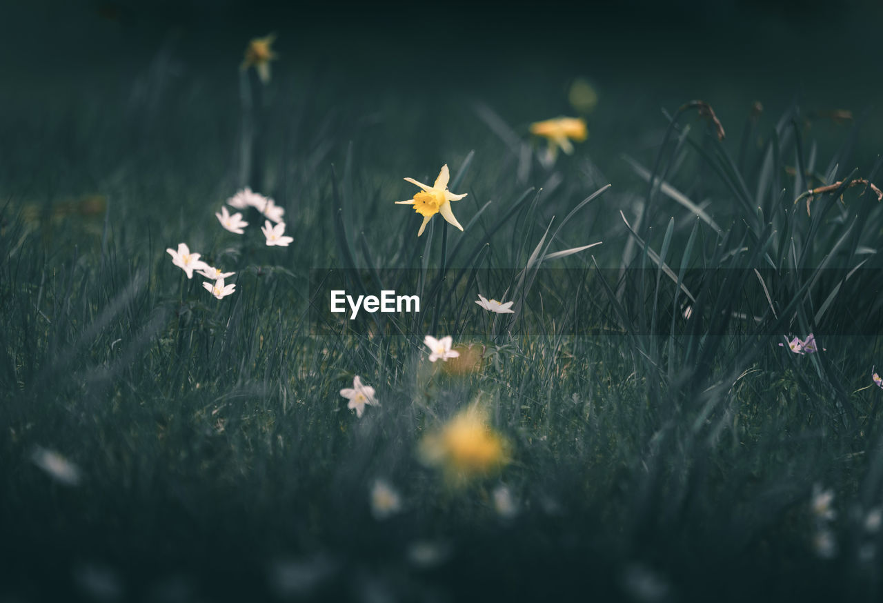 selective focus, plant, nature, flower, growth, flowering plant, land, field, beauty in nature, grass, no people, fragility, vulnerability, freshness, day, close-up, outdoors, high angle view, green color, tranquility, flower head