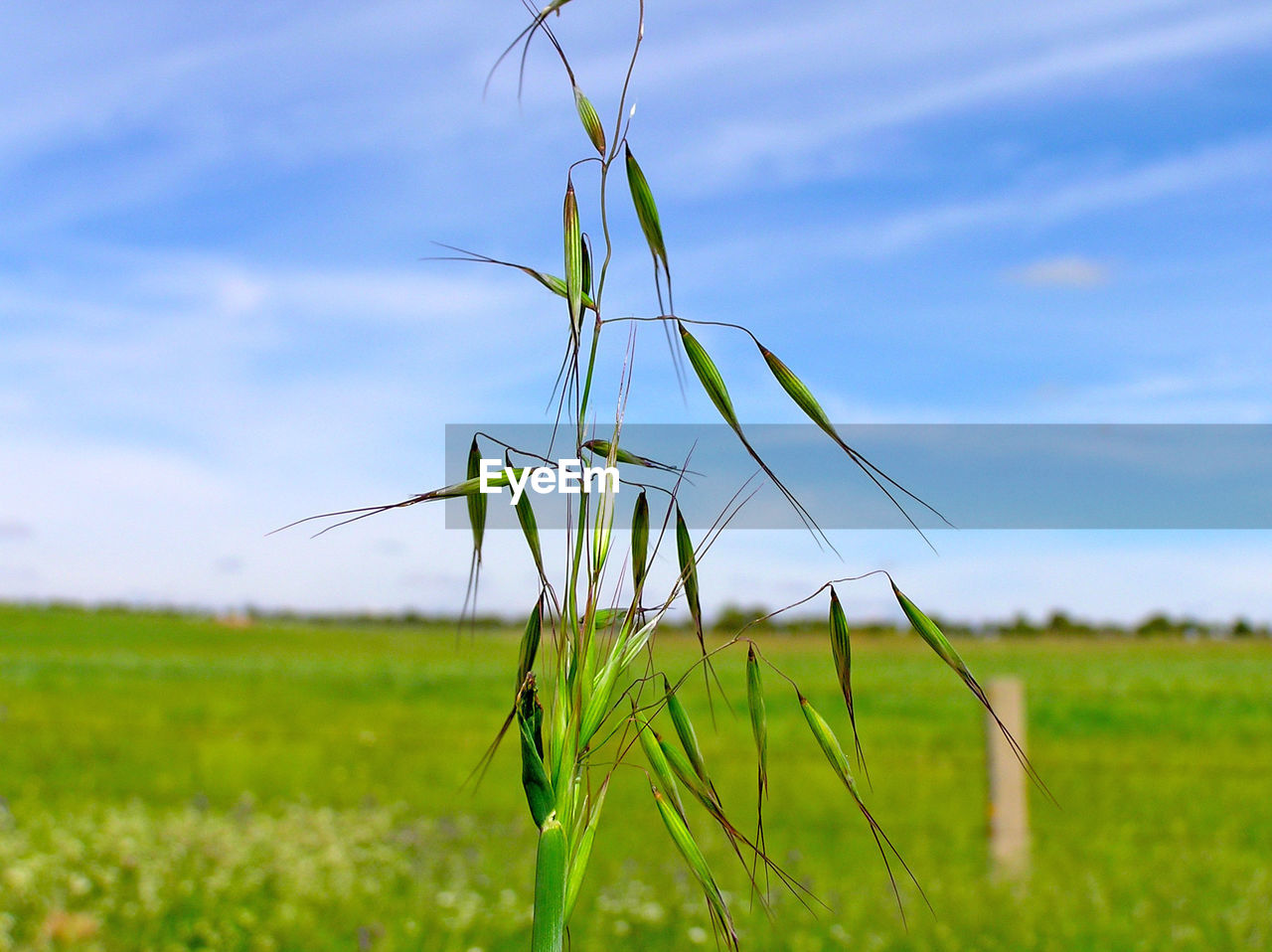 field, nature, agriculture, growth, farm, rural scene, green color, crop, beauty in nature, sky, cultivated land, focus on foreground, tranquility, plant, day, tranquil scene, no people, outdoors, cereal plant, blue, landscape, grass, scenics, close-up, ear of wheat, wheat, freshness