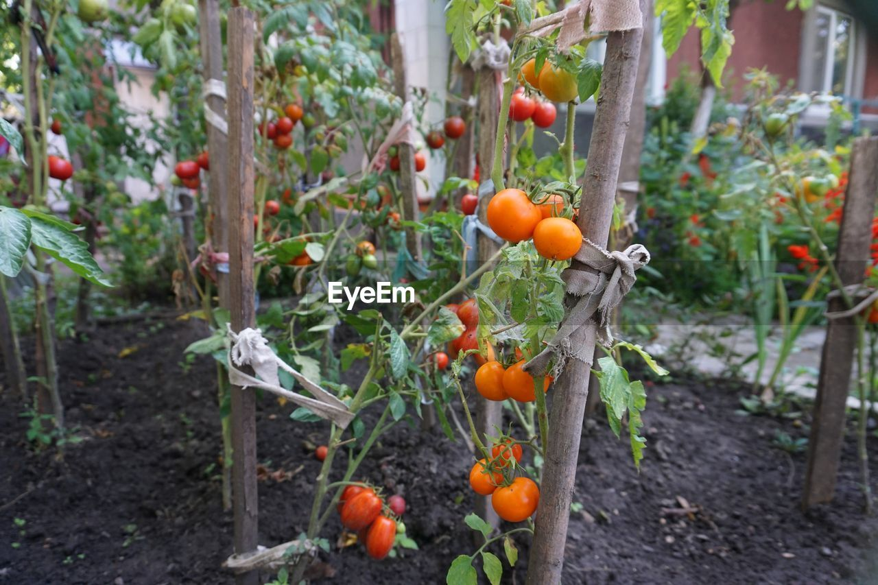 food, food and drink, fruit, healthy eating, growth, freshness, plant, day, tomato, wellbeing, vegetable, no people, nature, ripe, focus on foreground, orange color, red, outdoors, agriculture, beauty in nature
