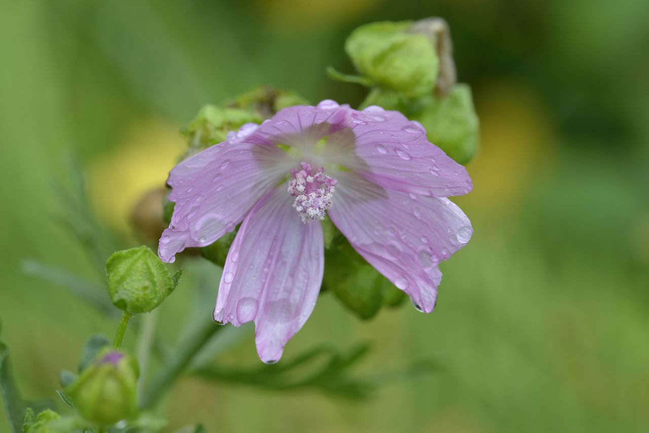 flowering plant, flower, beauty in nature, plant, fragility, freshness, petal, vulnerability, growth, close-up, flower head, inflorescence, drop, wet, water, purple, no people, nature, focus on foreground, dew, raindrop