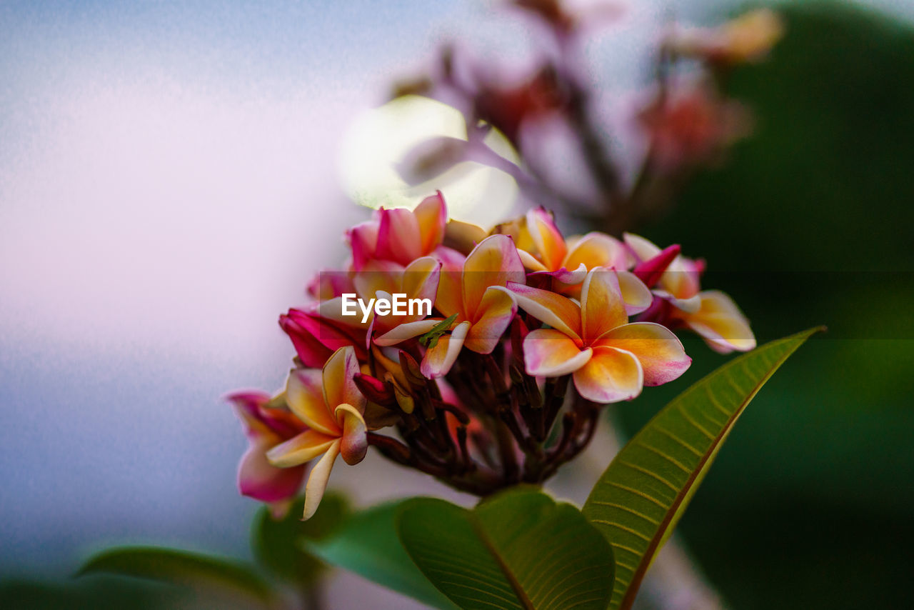 flower, flowering plant, beauty in nature, vulnerability, fragility, plant, petal, freshness, close-up, inflorescence, flower head, nature, focus on foreground, growth, plant part, leaf, selective focus, no people, day, pink color