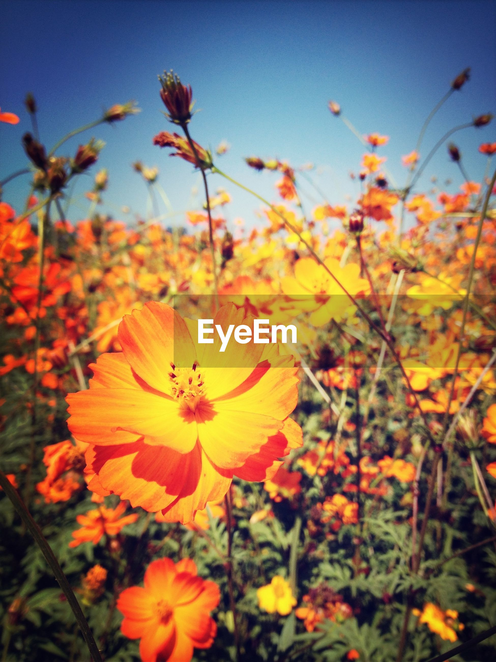 flower, freshness, fragility, petal, growth, flower head, beauty in nature, blooming, nature, yellow, plant, focus on foreground, in bloom, close-up, field, blossom, stem, springtime, sky, no people