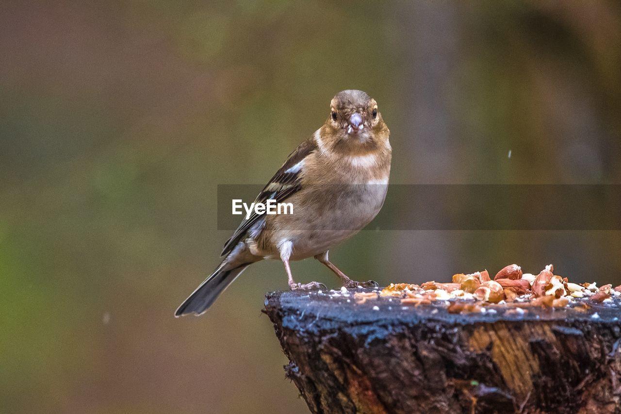 Portrait of sparrow perching tree stump