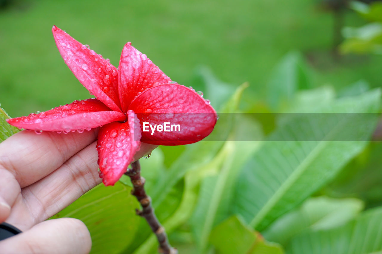 one person, hand, plant, plant part, leaf, close-up, human hand, human body part, red, freshness, real people, focus on foreground, beauty in nature, finger, holding, unrecognizable person, growth, human finger, body part, fragility, outdoors, flower head, flower