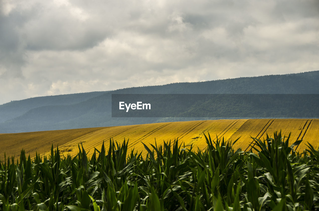 Scenic view of oilseed rape field against cloudy sky