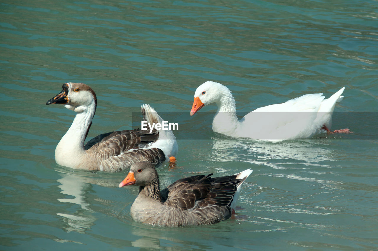 High angle view of geese swimming in lake