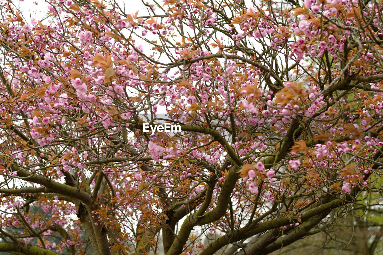 tree, flower, branch, blossom, beauty in nature, low angle view, growth, springtime, freshness, nature, fragility, botany, pink color, no people, day, outdoors, backgrounds, full frame, close-up, sky