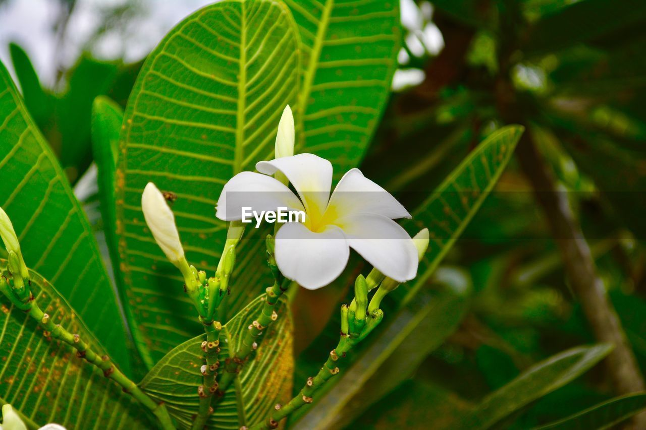 plant, flower, vulnerability, flowering plant, fragility, beauty in nature, growth, freshness, petal, close-up, white color, flower head, inflorescence, plant part, green color, leaf, focus on foreground, nature, day, no people, frangipani, outdoors