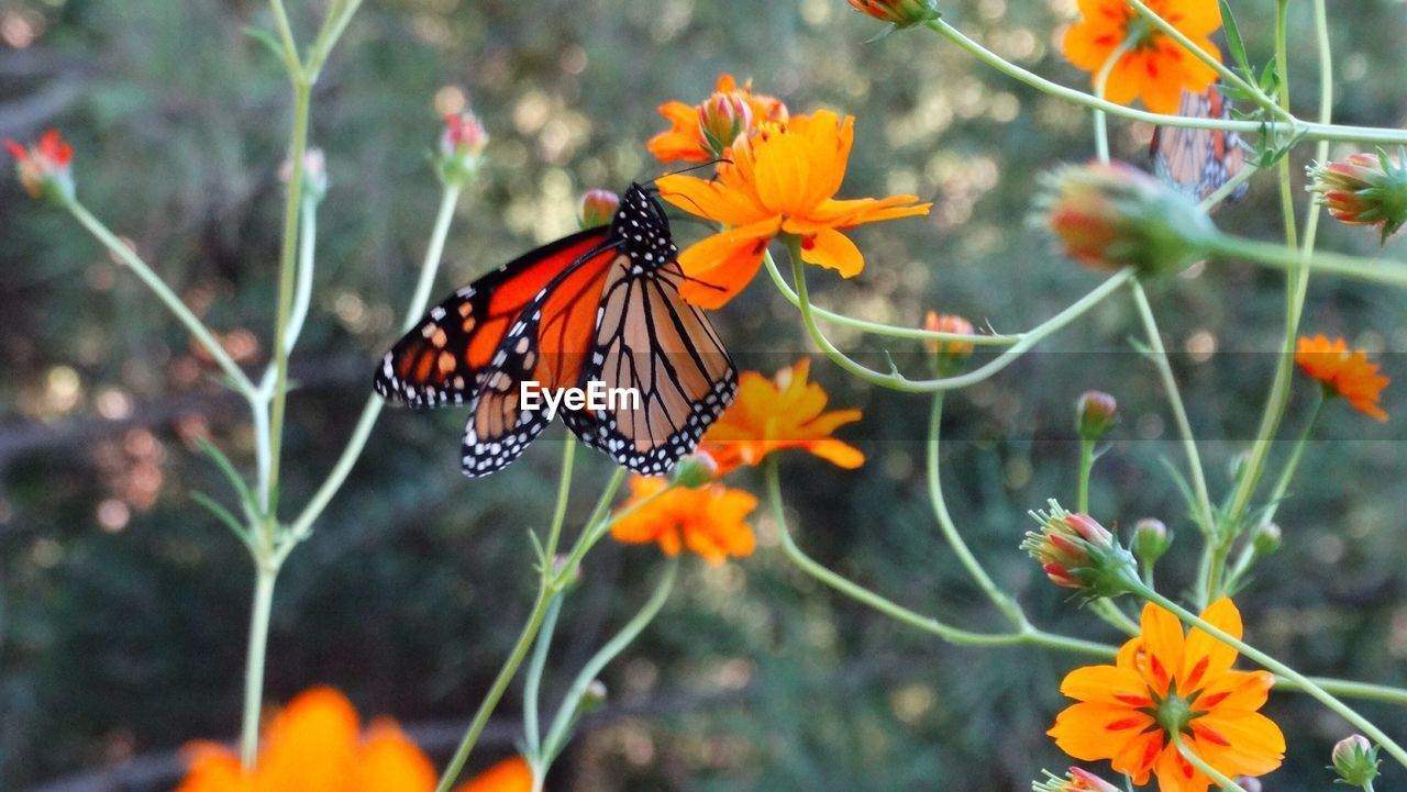 flower, insect, animal themes, nature, animals in the wild, beauty in nature, orange color, growth, plant, freshness, fragility, butterfly - insect, one animal, no people, day, petal, flower head, outdoors, animal wildlife, pollination, blooming, close-up, zinnia
