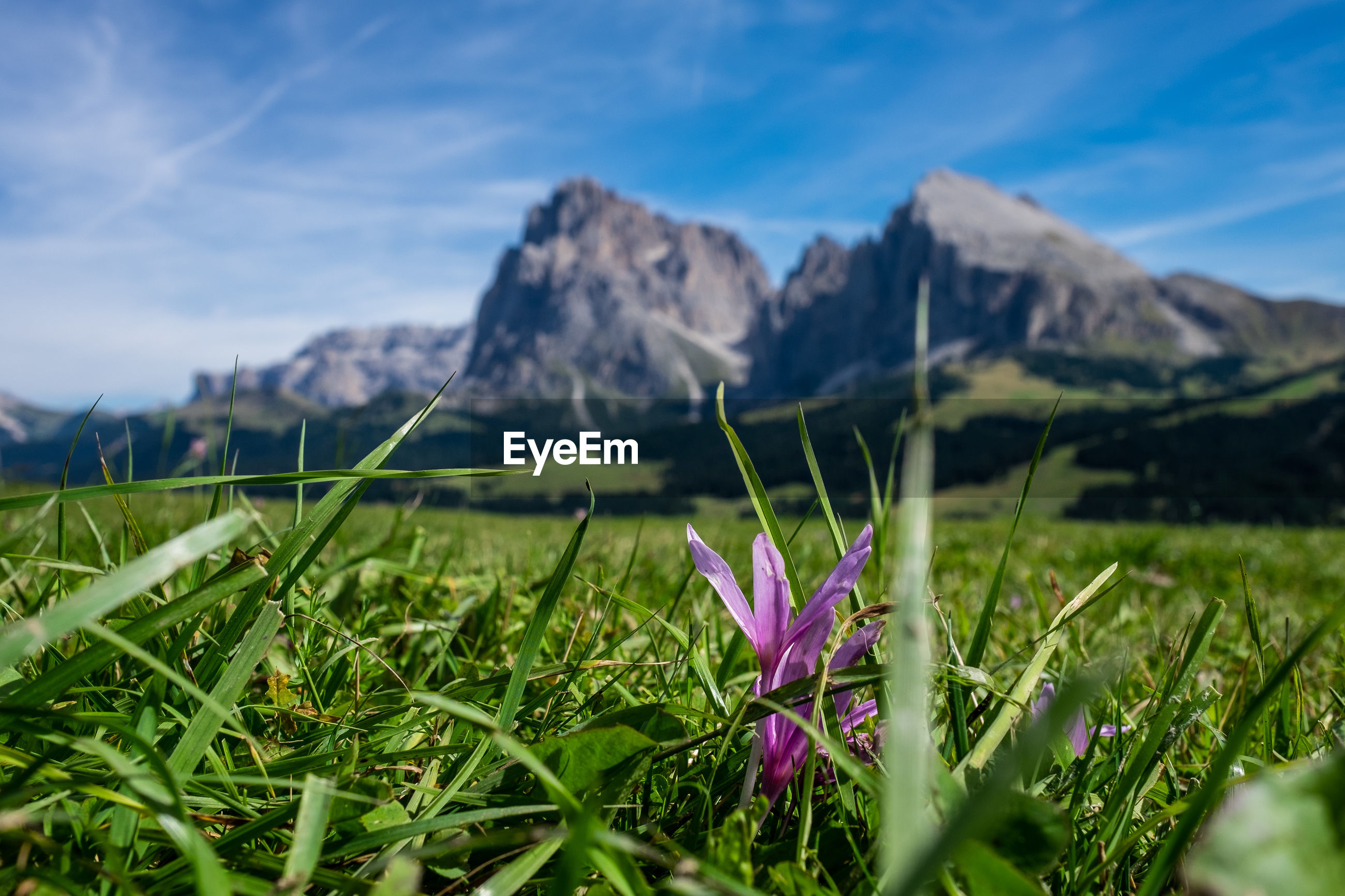 PURPLE CROCUS FLOWERS ON FIELD AGAINST MOUNTAINS