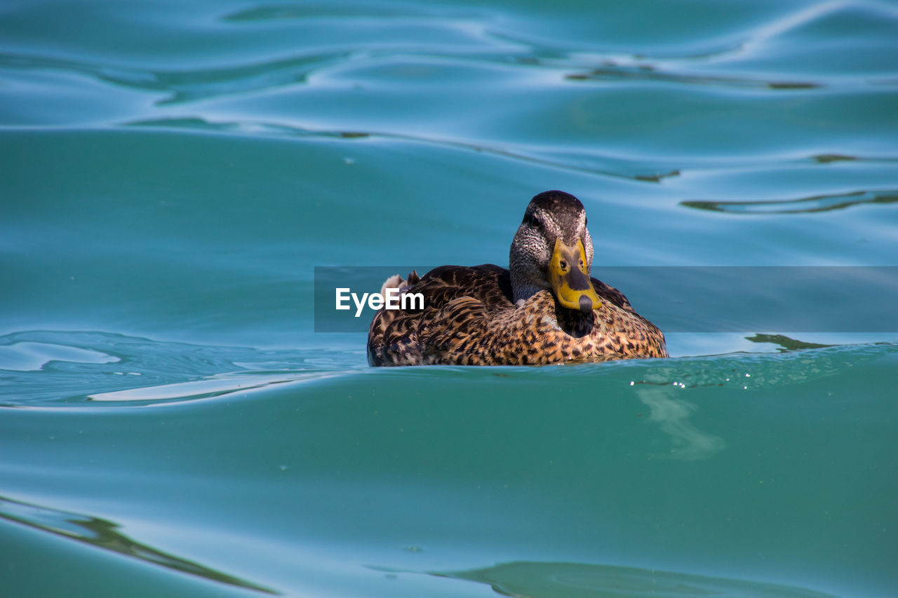 water, animals in the wild, swimming, vertebrate, animal themes, animal wildlife, animal, one animal, lake, bird, nature, duck, day, no people, waterfront, poultry, water bird, outdoors, animal family