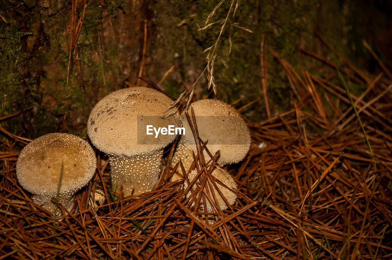 land, plant, tree, no people, nature, mushroom, forest, fungus, field, close-up, food, day, growth, brown, high angle view, vegetable, selective focus, outdoors, focus on foreground, food and drink, toadstool