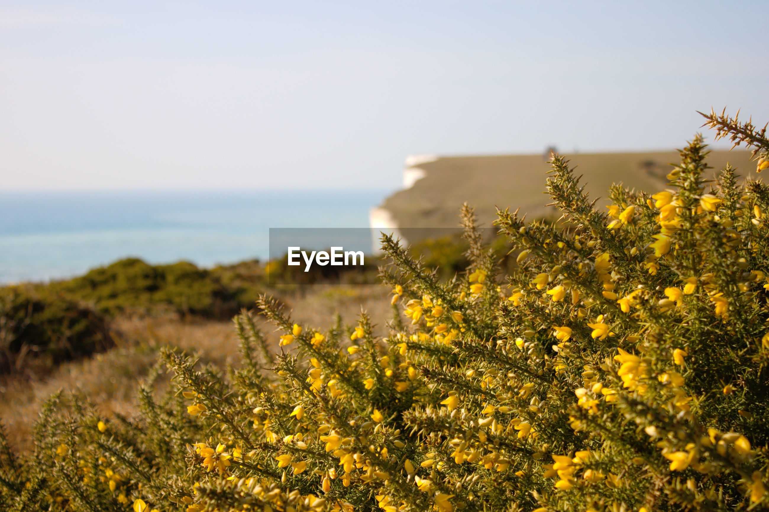YELLOW FLOWERING PLANT ON FIELD AGAINST SEA