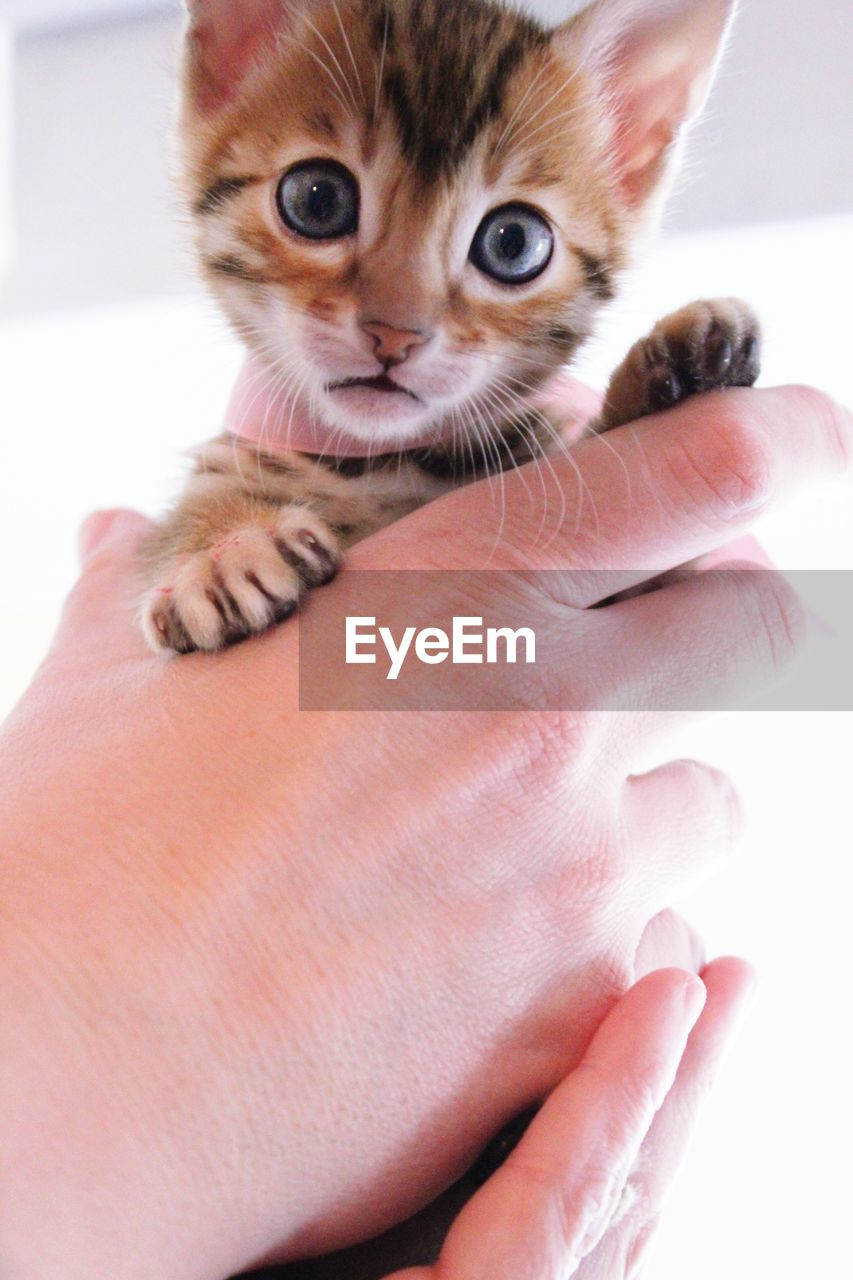 domestic, pets, cat, domestic cat, domestic animals, mammal, feline, human hand, one animal, hand, human body part, vertebrate, young animal, people, body part, indoors, kitten, whisker, finger, pet owner, human limb, care