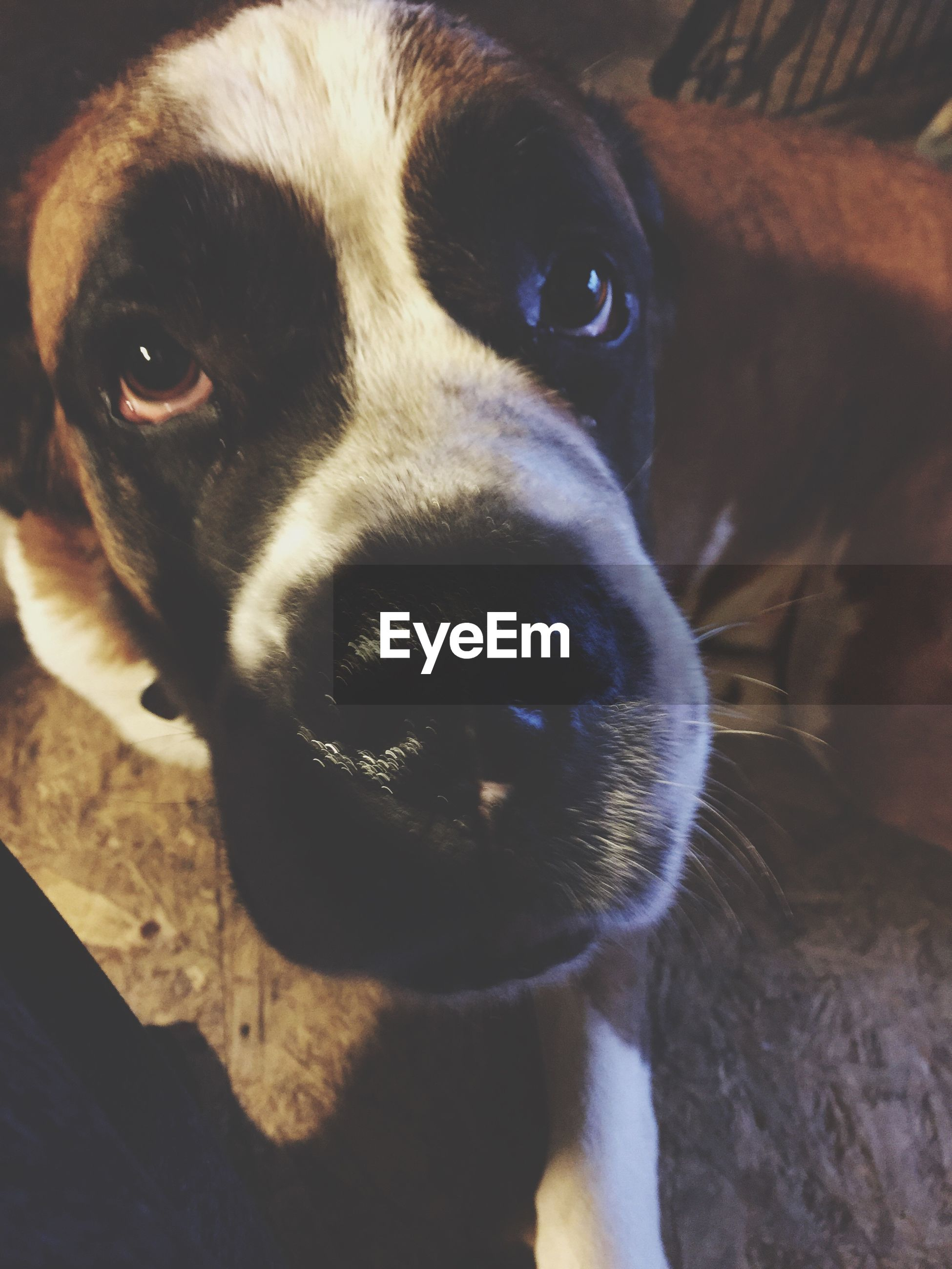 one animal, domestic animals, dog, pets, animal themes, looking at camera, close-up, portrait, animal head, mammal, young animal, zoology, alertness, animal eye, snout, loyalty, animal nose, pampered pets, no people, looking, animal