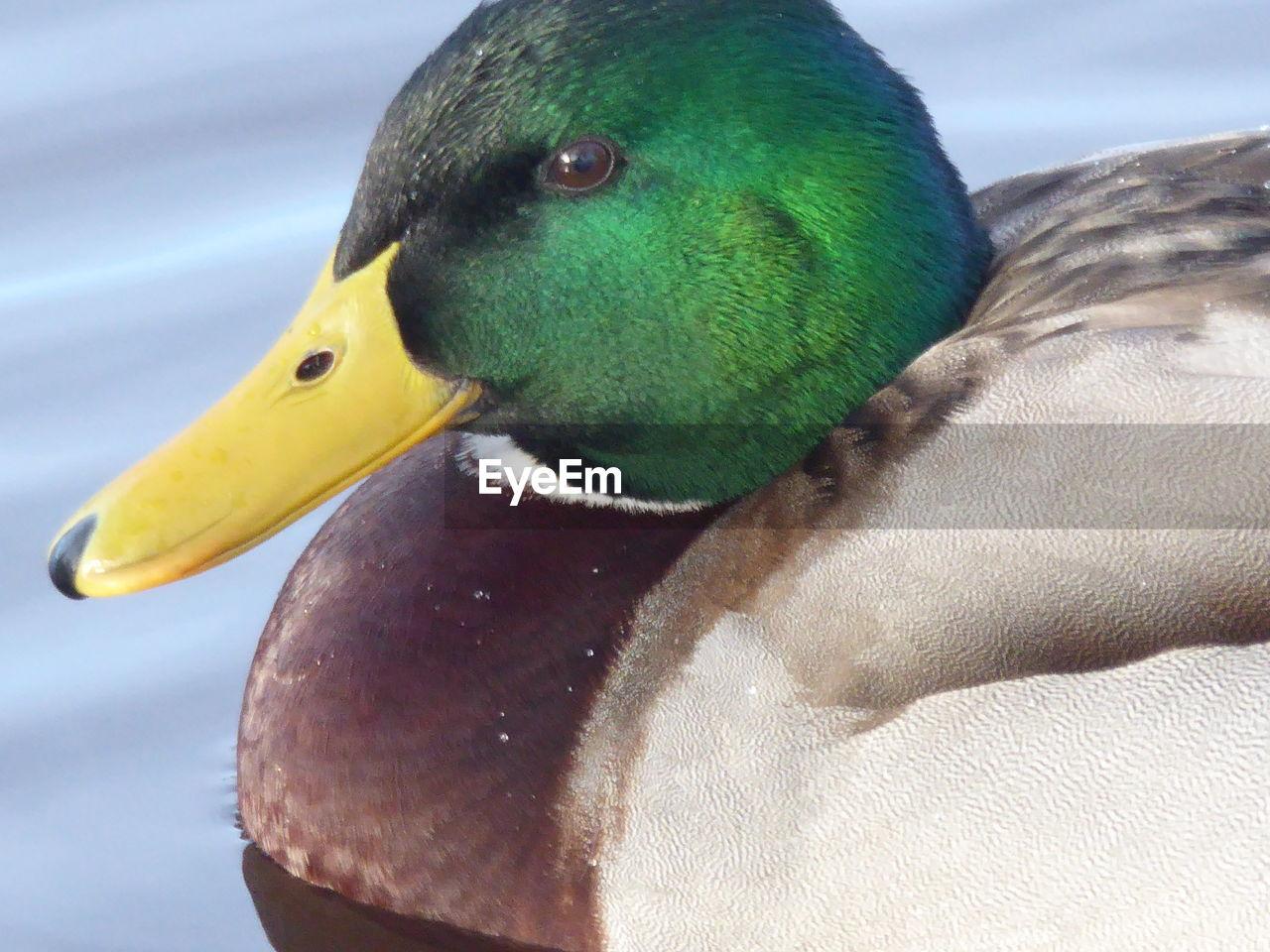 bird, animal themes, animals in the wild, one animal, animal wildlife, beak, close-up, day, no people, outdoors, nature